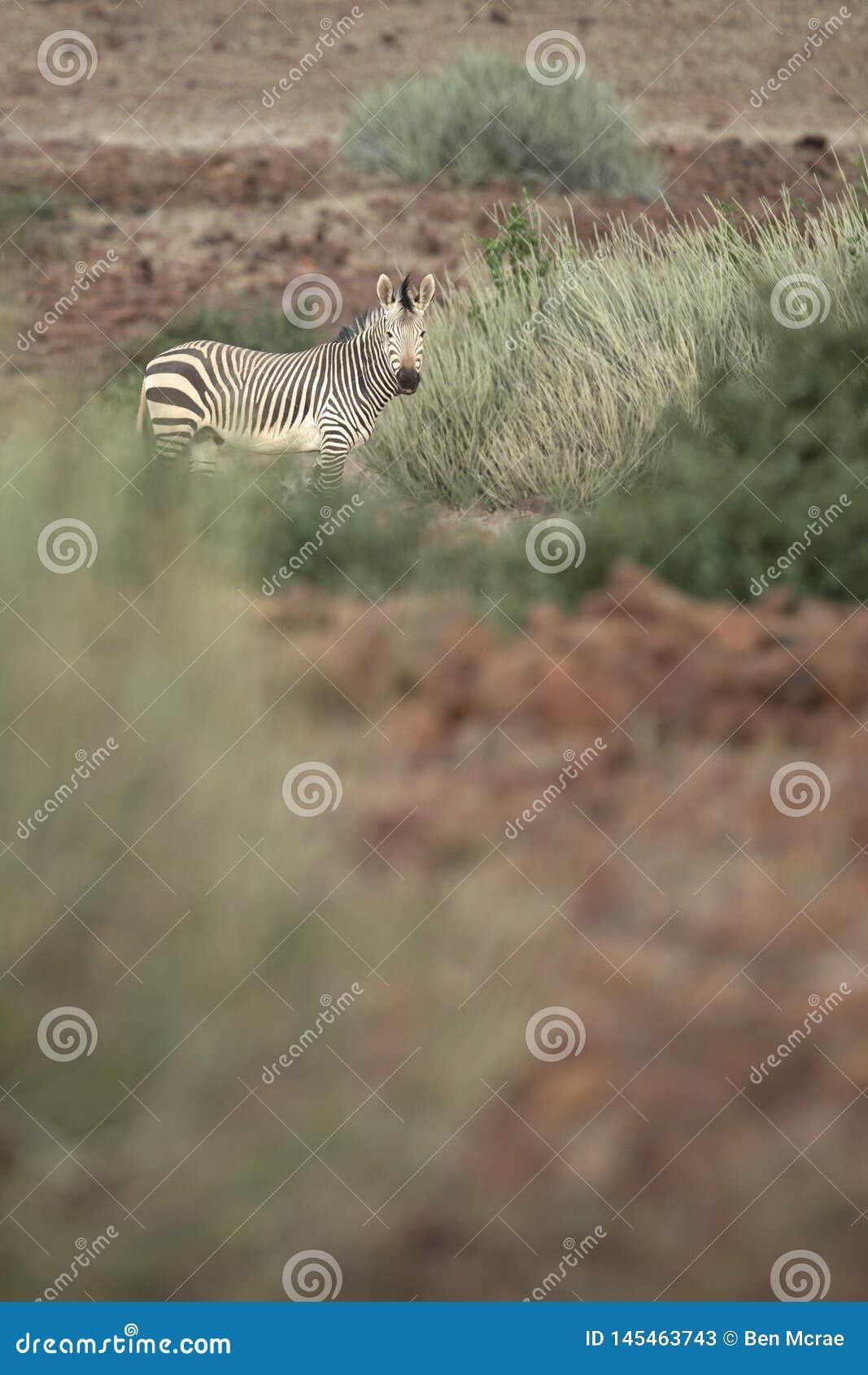 Zebra in Palmwag-concessie Kaokoland