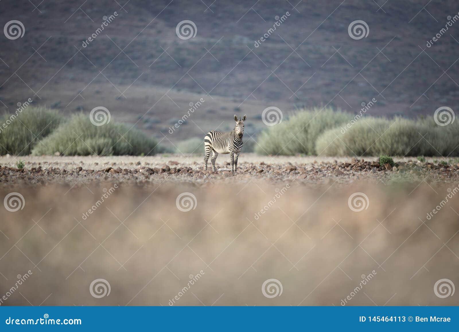 Zebra in Palmwag-concessie Kaokoland, Kunene-Gebied nafta Vage voorgrond Ruw Landschap