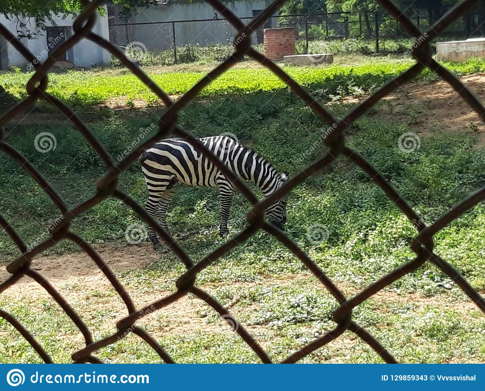 Zebra stock image  Image of very, beautiful, zebra, carefully