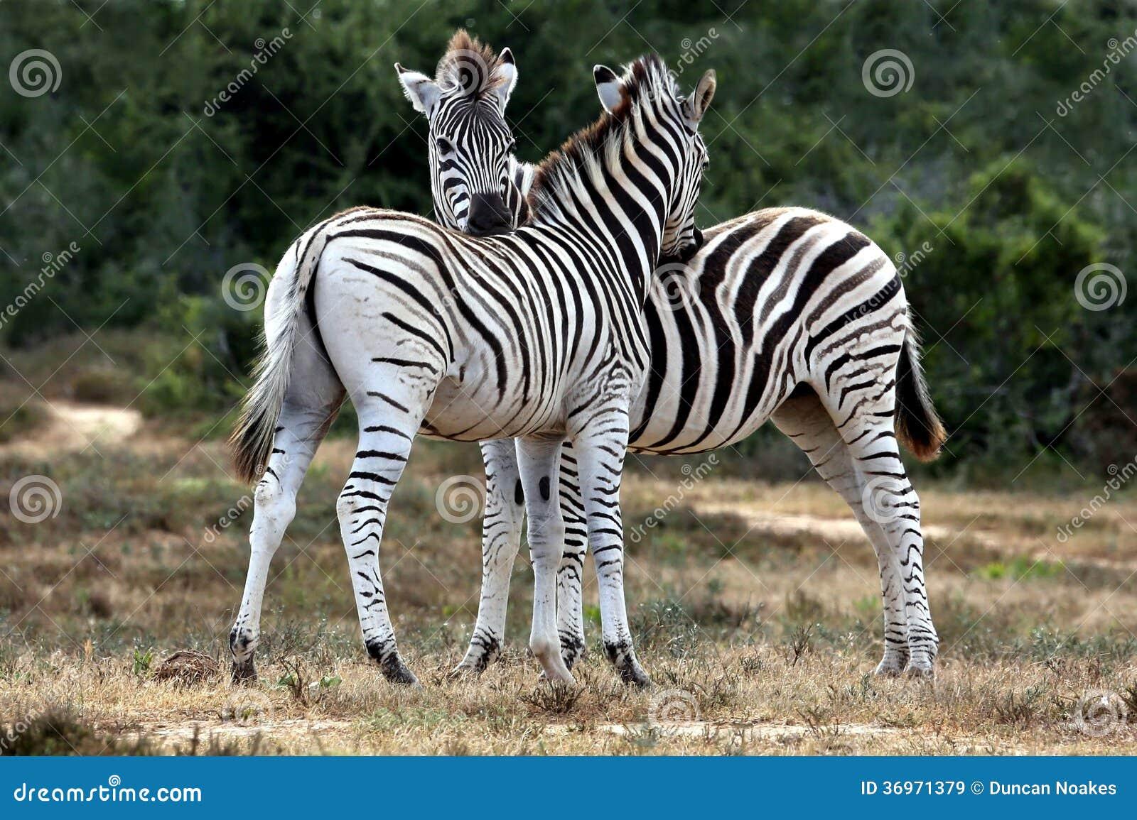 Zebra-Pflegen