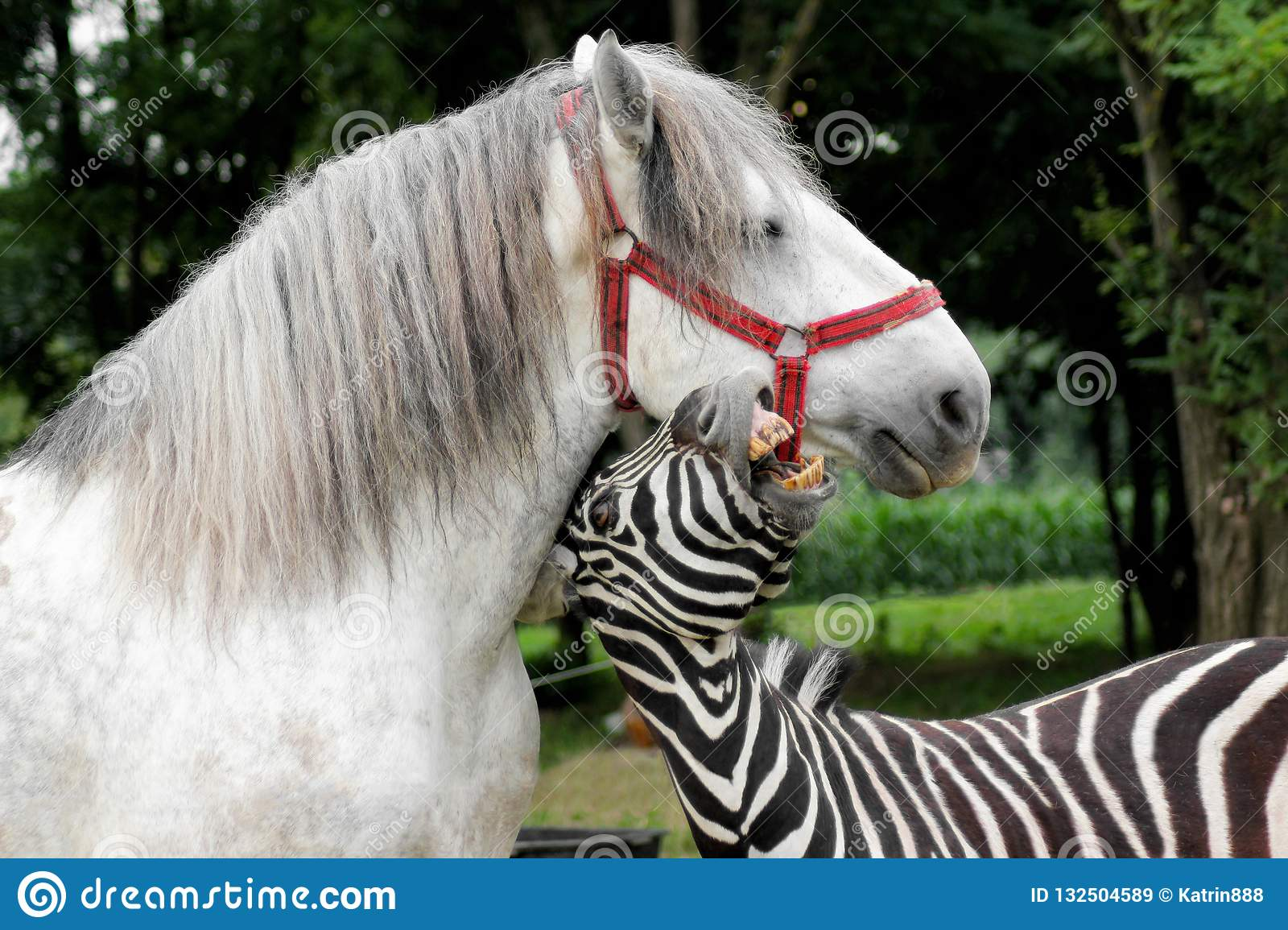 Zebra playing with the white horse. Portrait of the funny animals outdoor