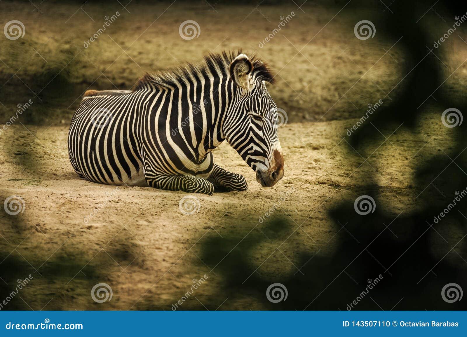 Zebra que encontra-se na terra no savana