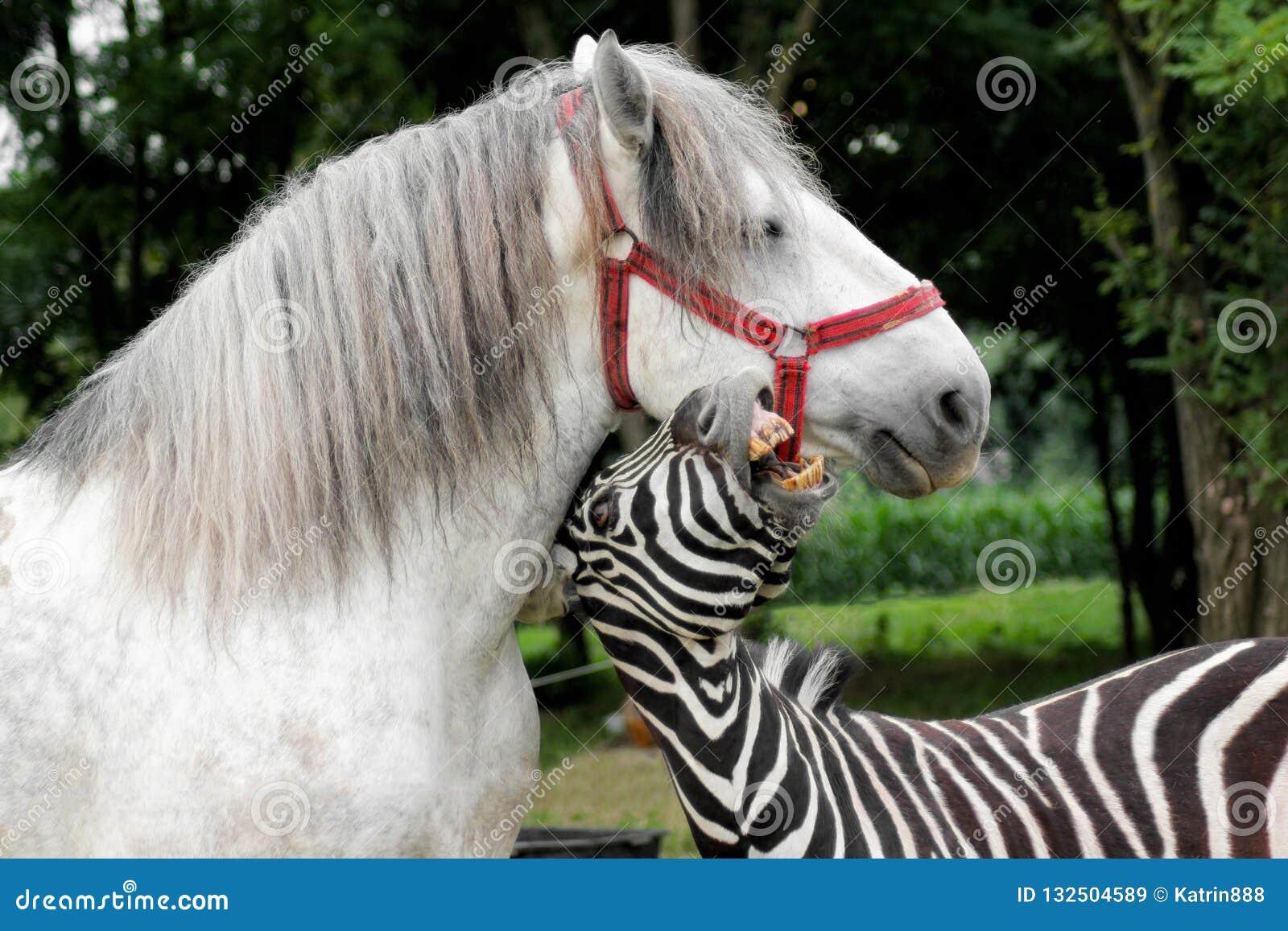 Zebra que joga com o cavalo branco Retrato dos animais engraçados exteriores