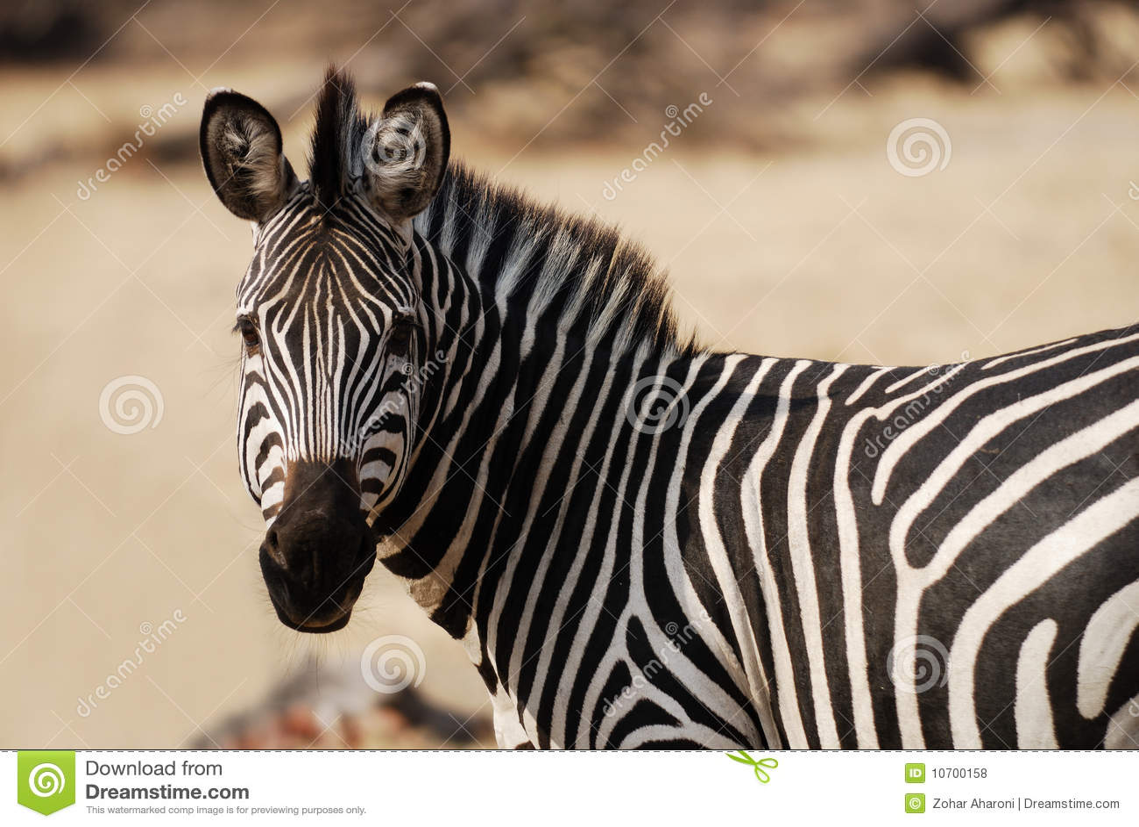 Zebra que olha à esquerda