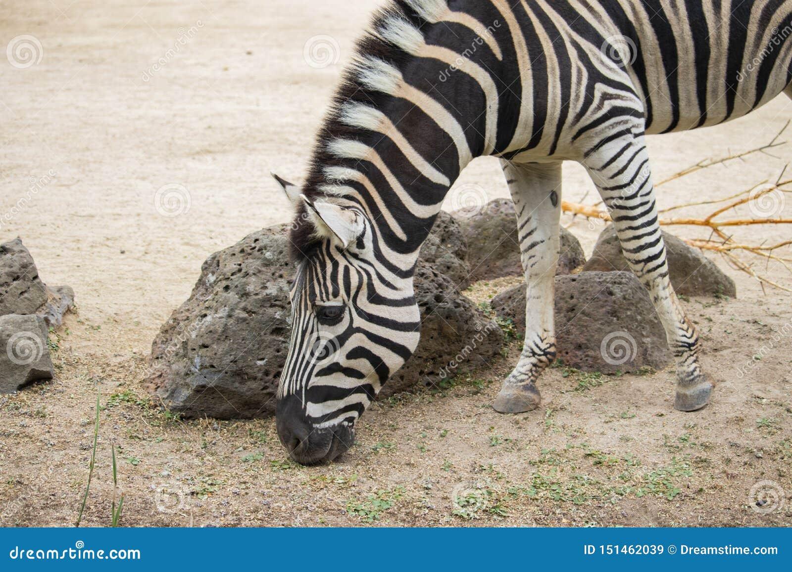 Zebra que pasta no jardim zoológico