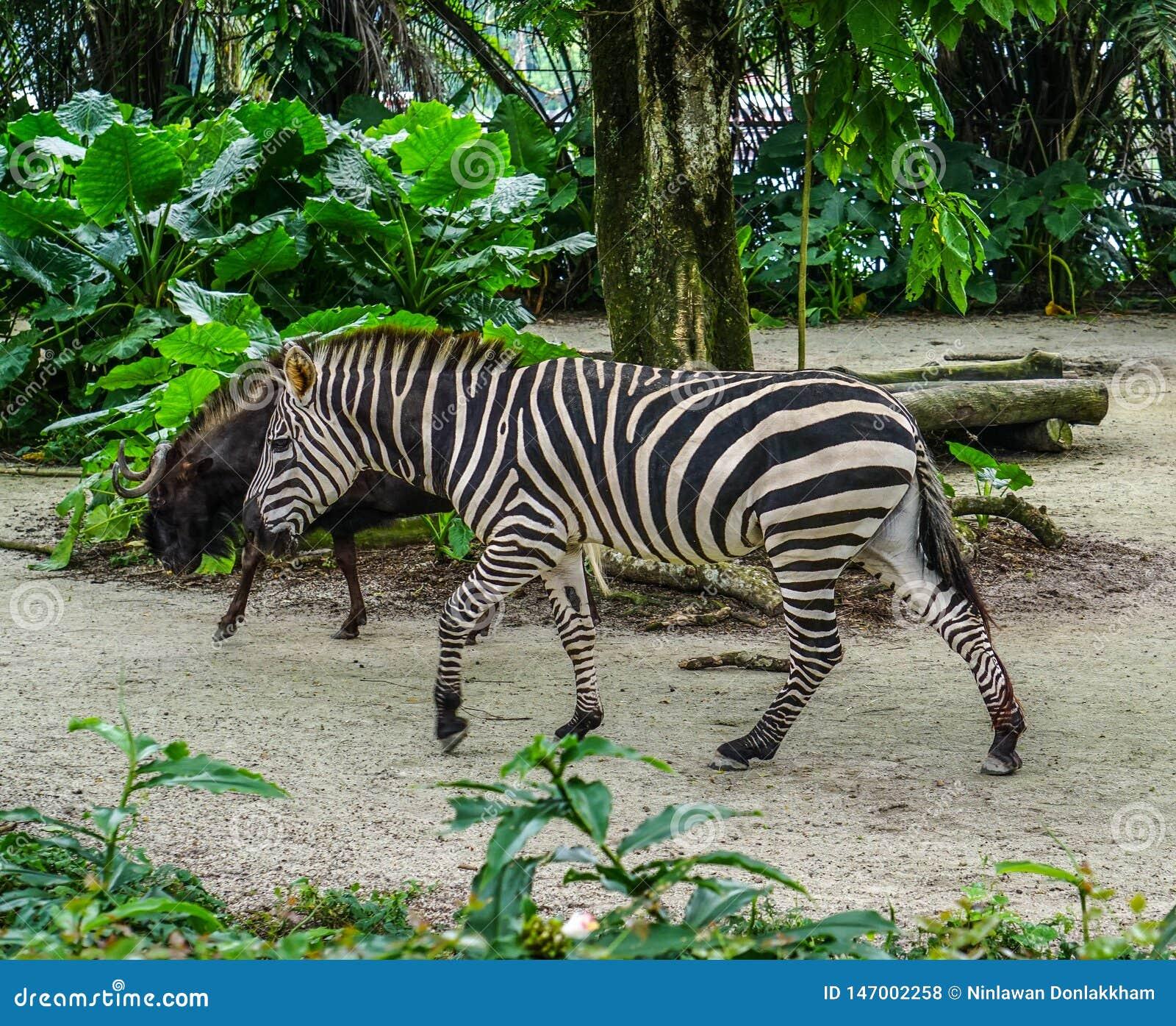 Zebra que relaxa no jardim zoológico