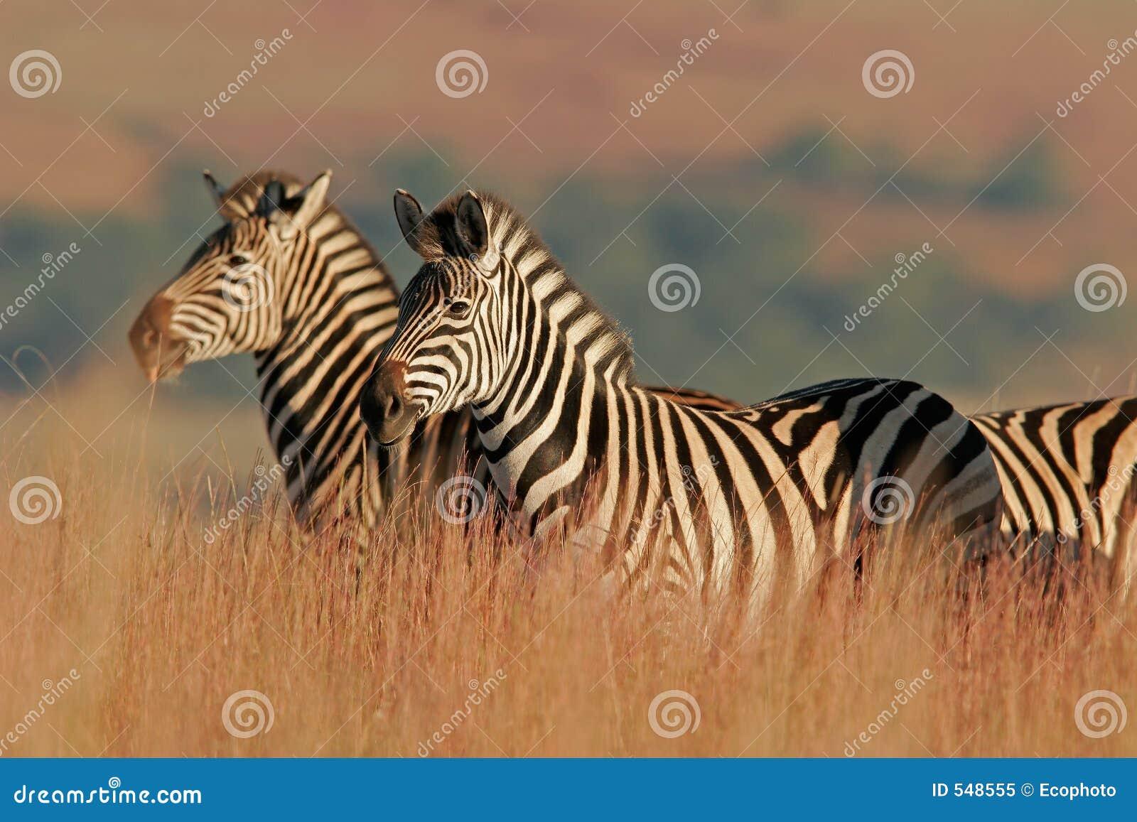 Zebra równiny