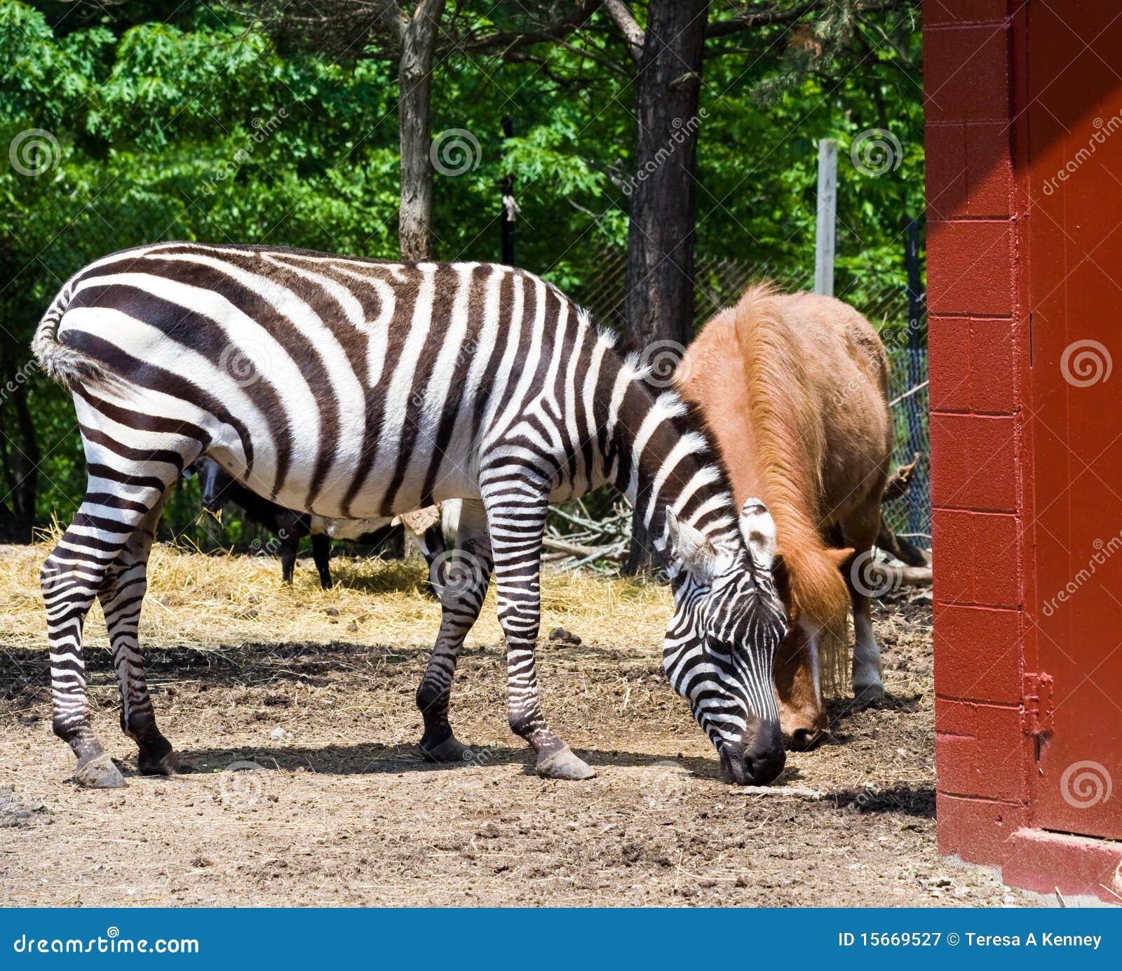 Zebra At Rescue Farm Stock Image Image Of Horses Living