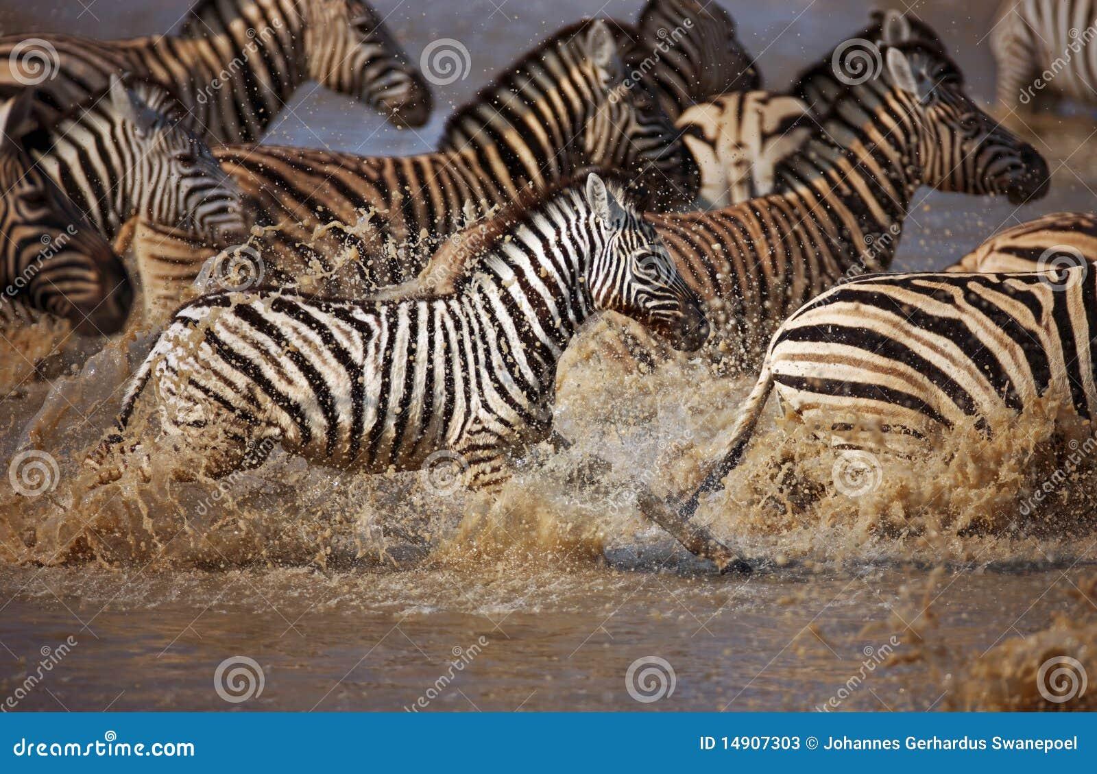 Zebras Running Through Water Zebra's Run...