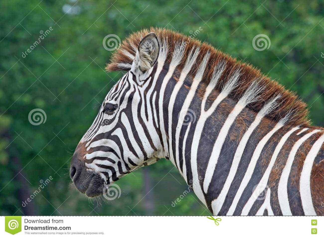 Zebra in a safari