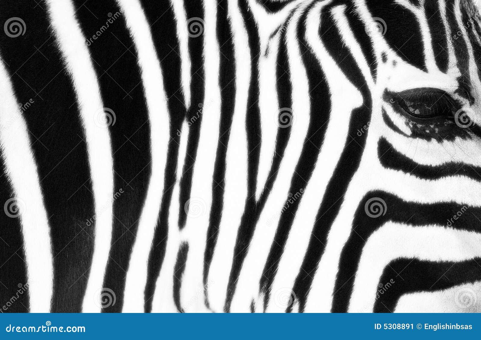 Download Zebra a strisce immagine stock. Immagine di naturalizzato - 5308891