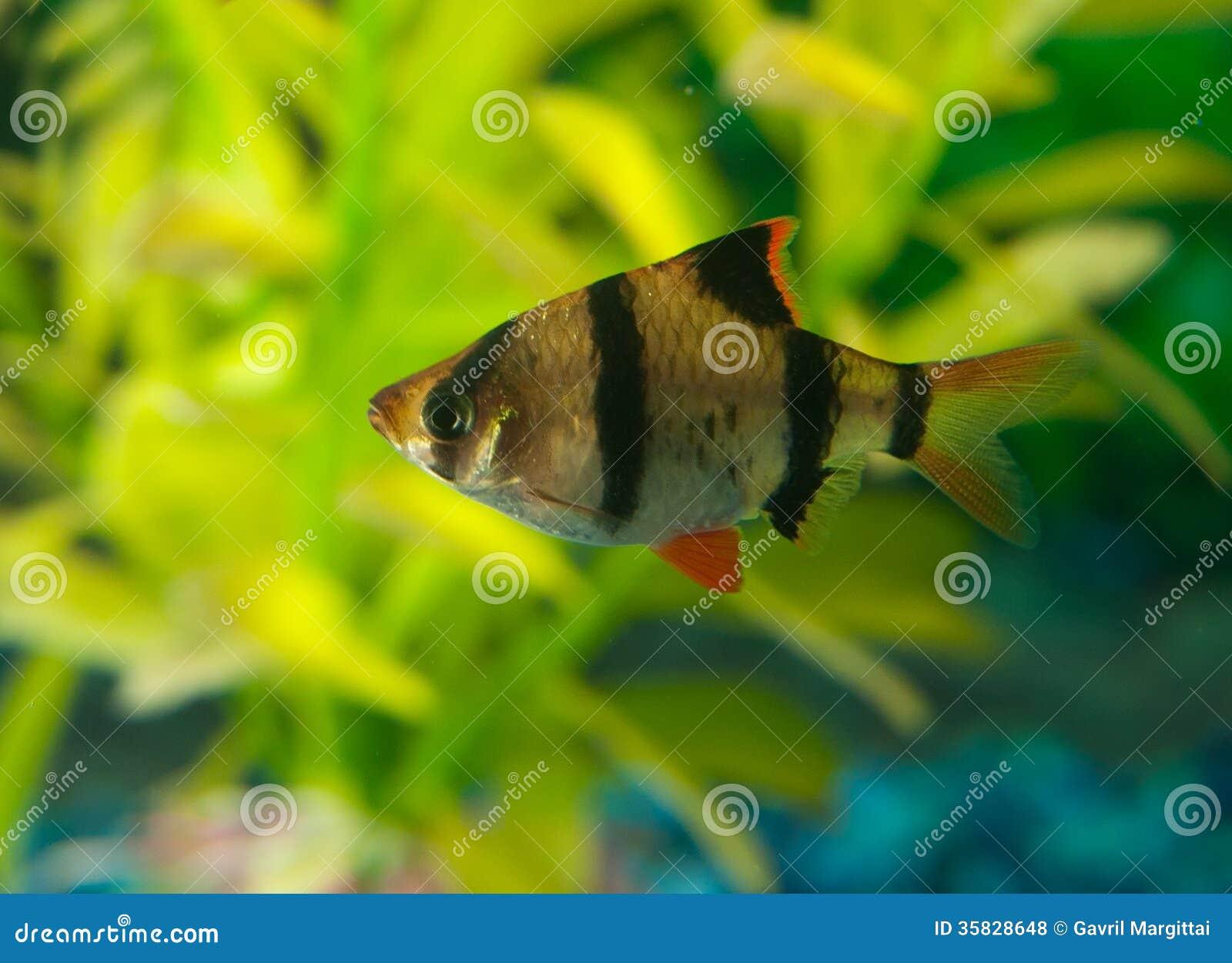 Zebra tetra fish royalty free stock photos image 35828648 for Small pet fish