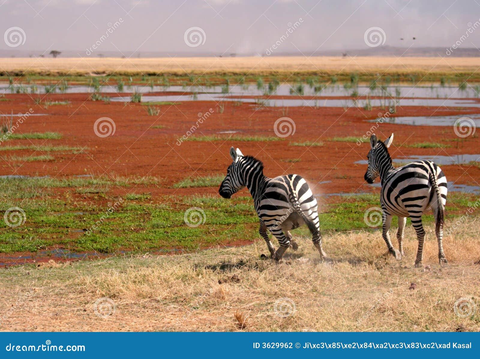 Zebra twee in Amboseli, Kenia,