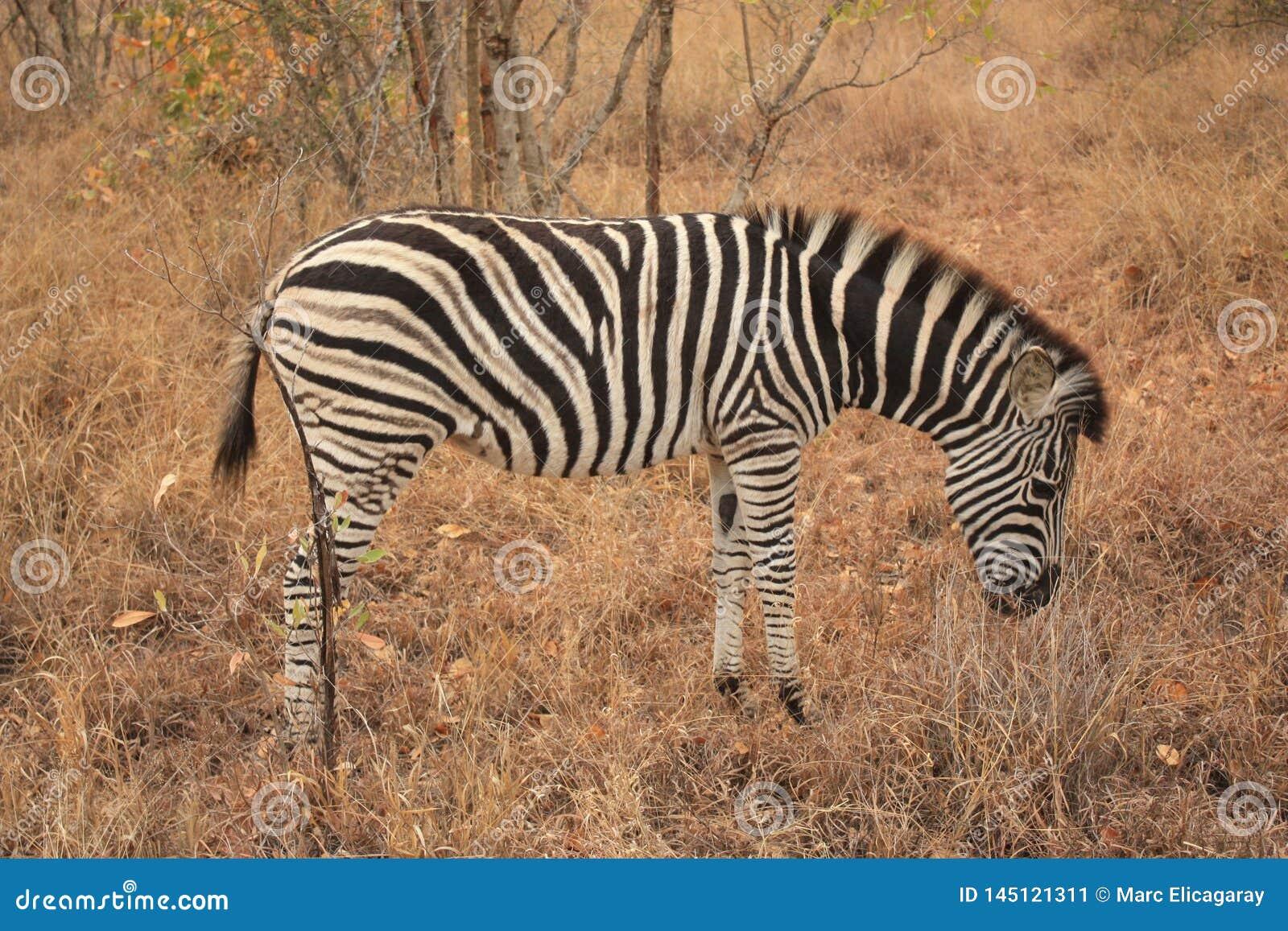 Zebra w Kruger parku narodowym Południowa Afryka