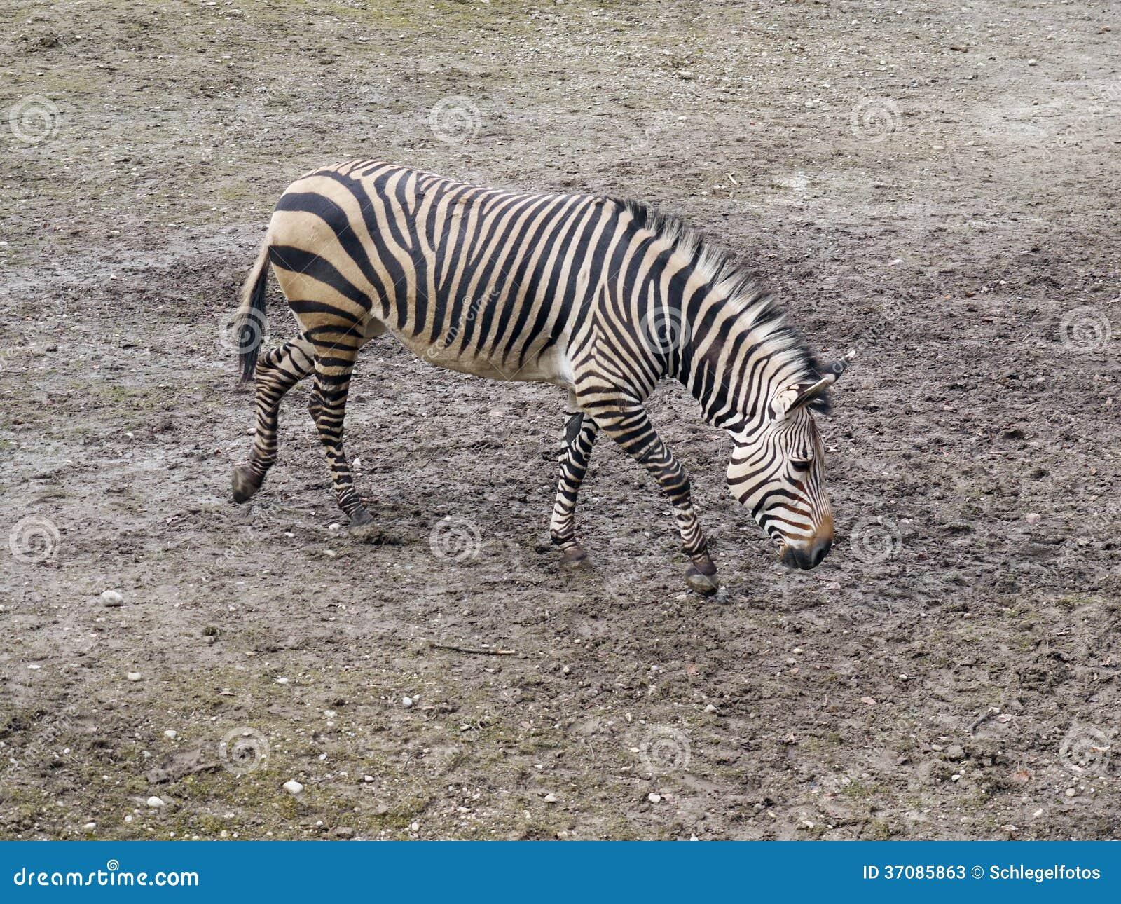 Download Zebra w naturze obraz stock. Obraz złożonej z zebra, pustkowie - 37085863