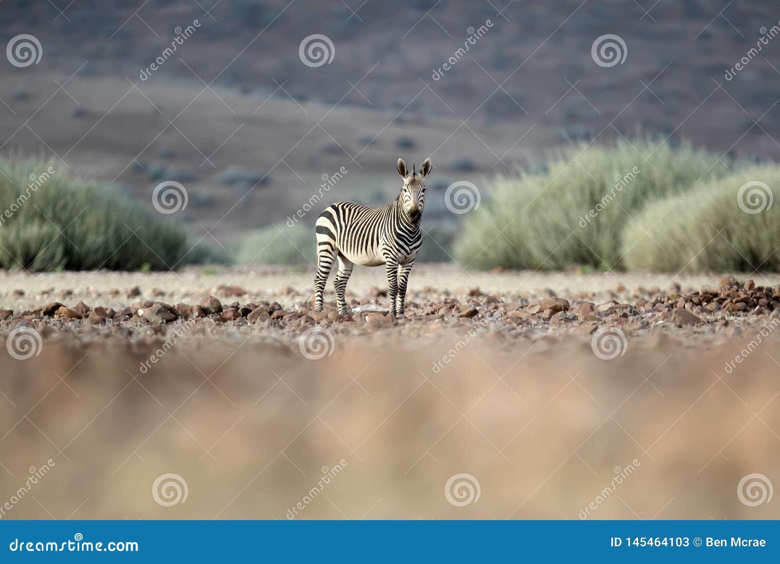 Zebra w Palmwag koncesji Kaokoland, Kunene region Namibia Zamazany przedpole