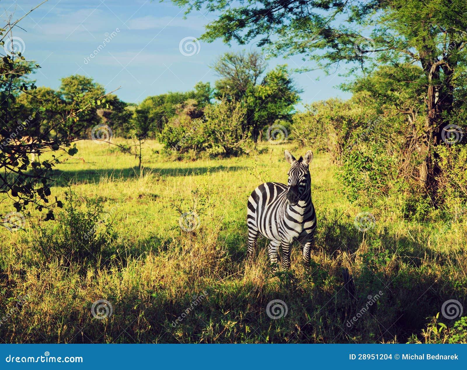 Zebra w trawie na Afrykańskiej sawannie.