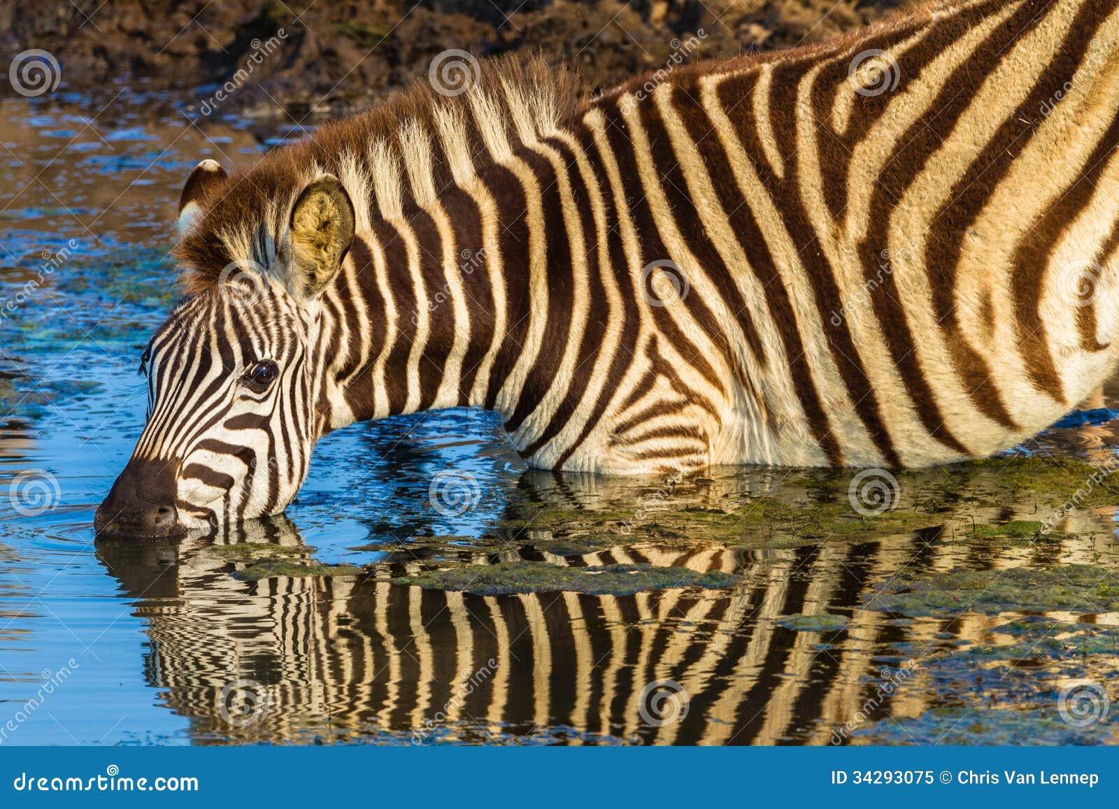 Ziemlich Zebra Label Vorlage Ideen - Entry Level Resume Vorlagen ...