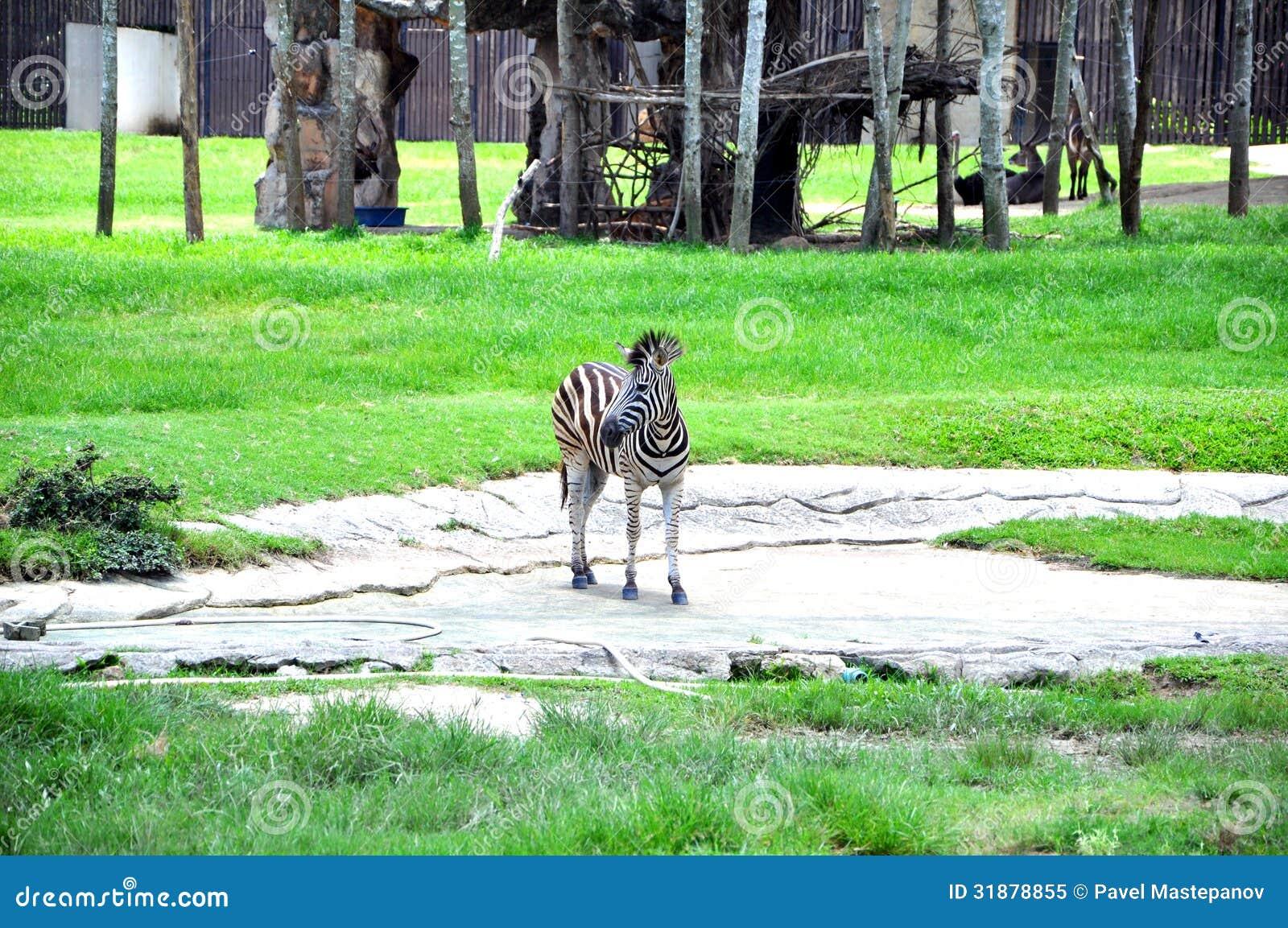 zebra royalty free stock photo image 31878855