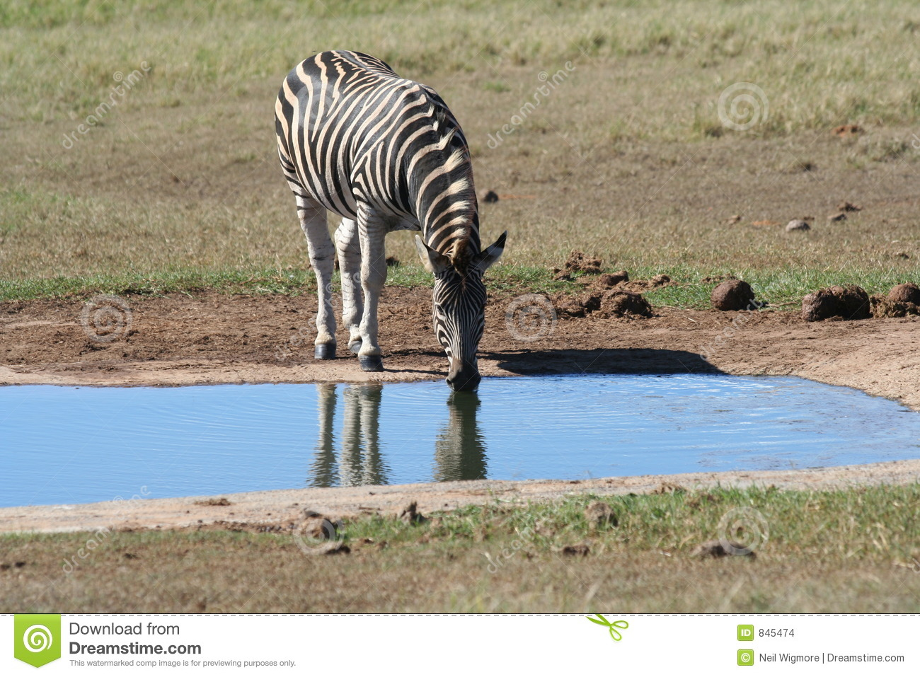 Zebra at the Wateringhole