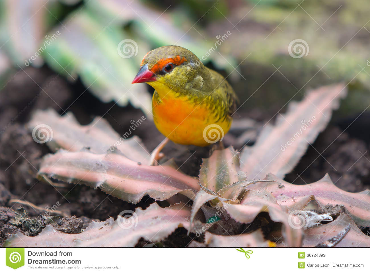 The Orange-breasted Waxbill or Zebra Waxbill(Amandava subflava) is a small  (approximately 9 cm long) sparrow-like bird with a reddish iris, orange  breast, ...