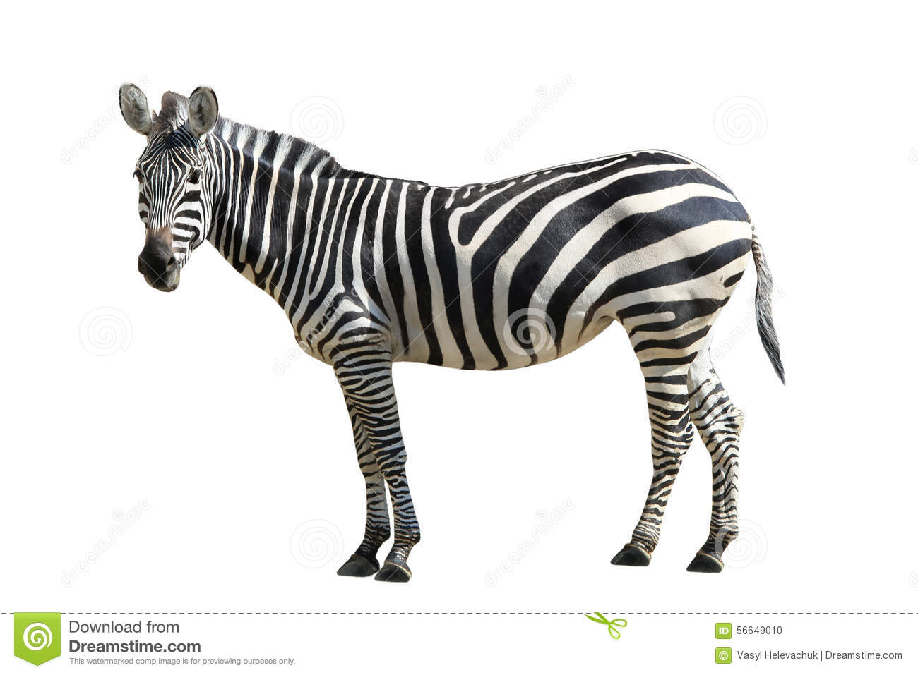 Zebra Stock Photo - Image: 56649010