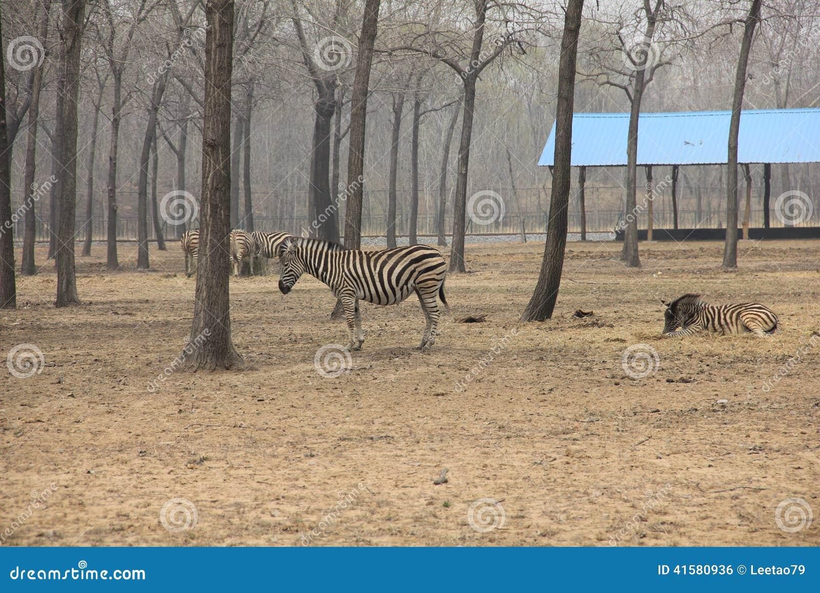 Zebra Scientific Name Zebra in the wild stoc...