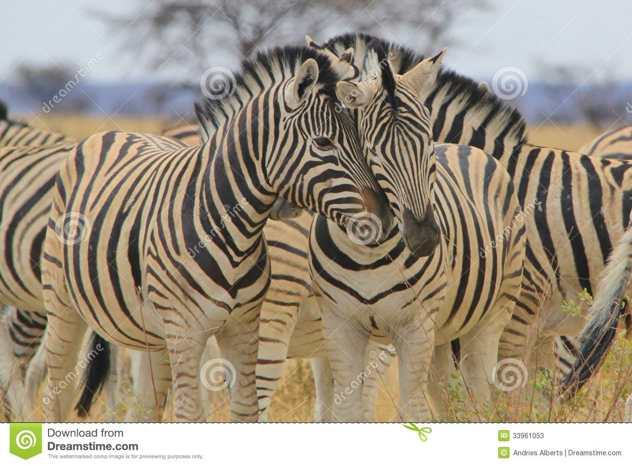 Zebra - Wildlife Background from Africa - Affectionate Stripes of Love