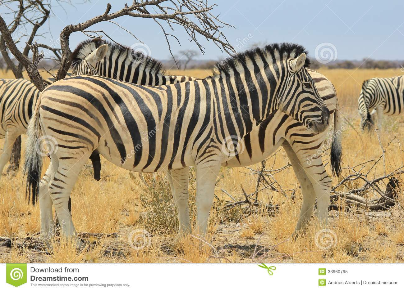 Zebra - Wildlife Background from Africa - Beautiful Stallion double stripes