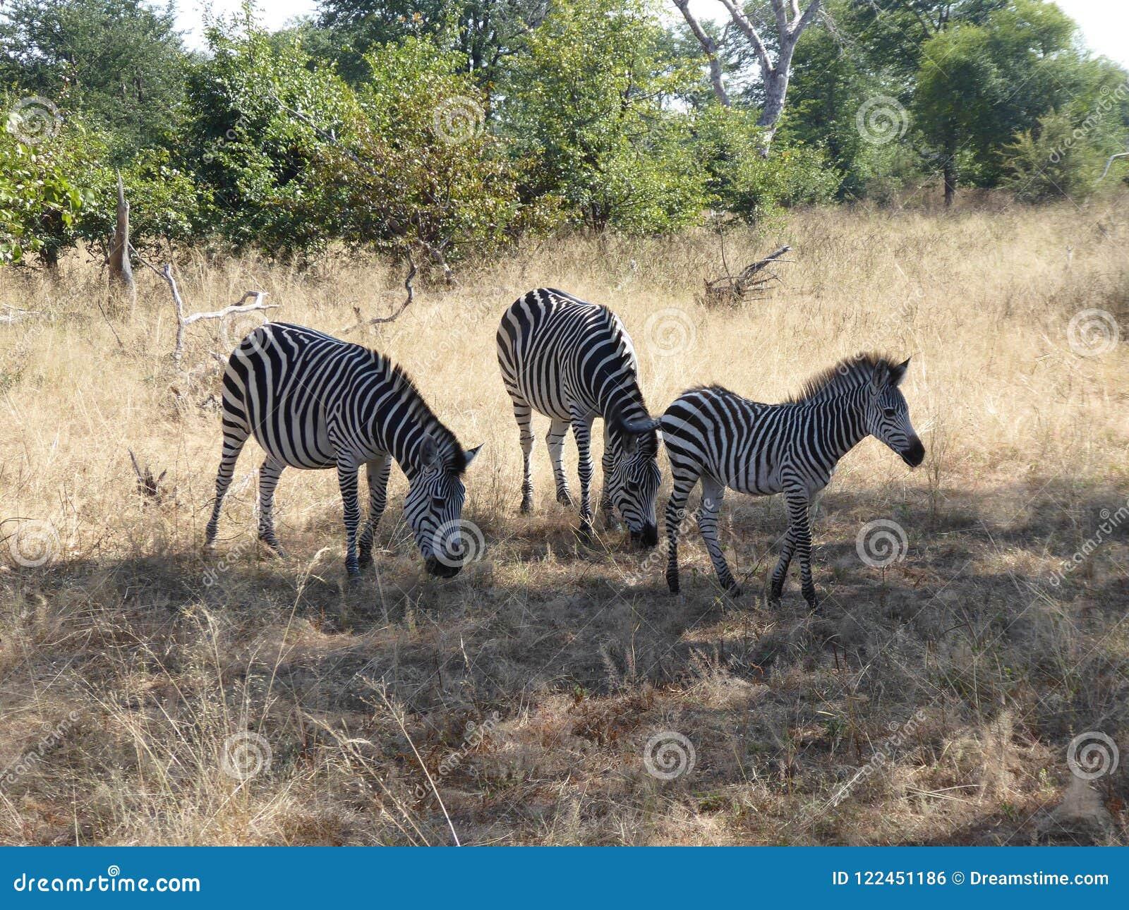Zebra zambiów safari Afryka natury rodzinna przyroda