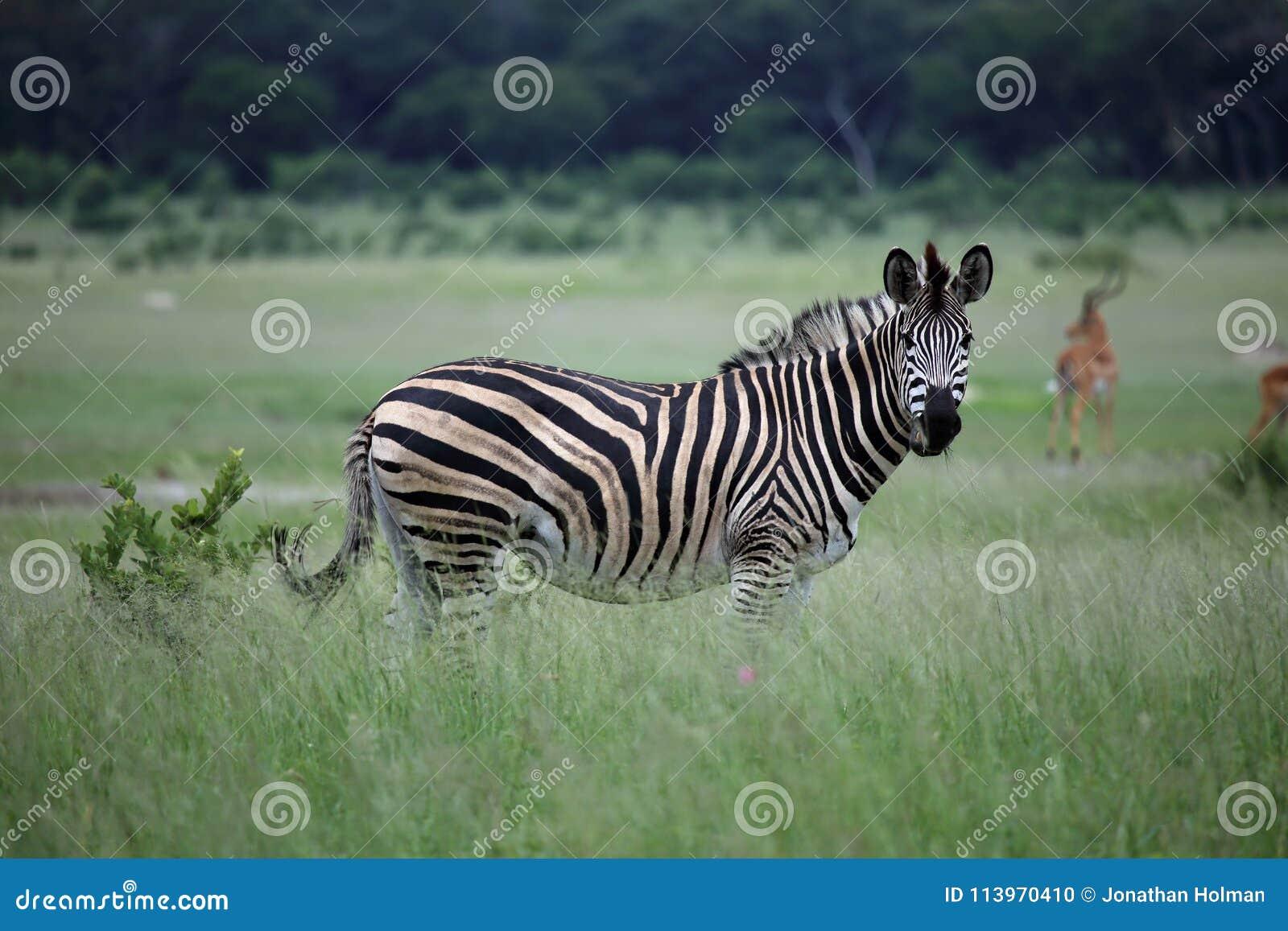 Zebra in Zimbabwe, Hwange National Park with Antelope Impala