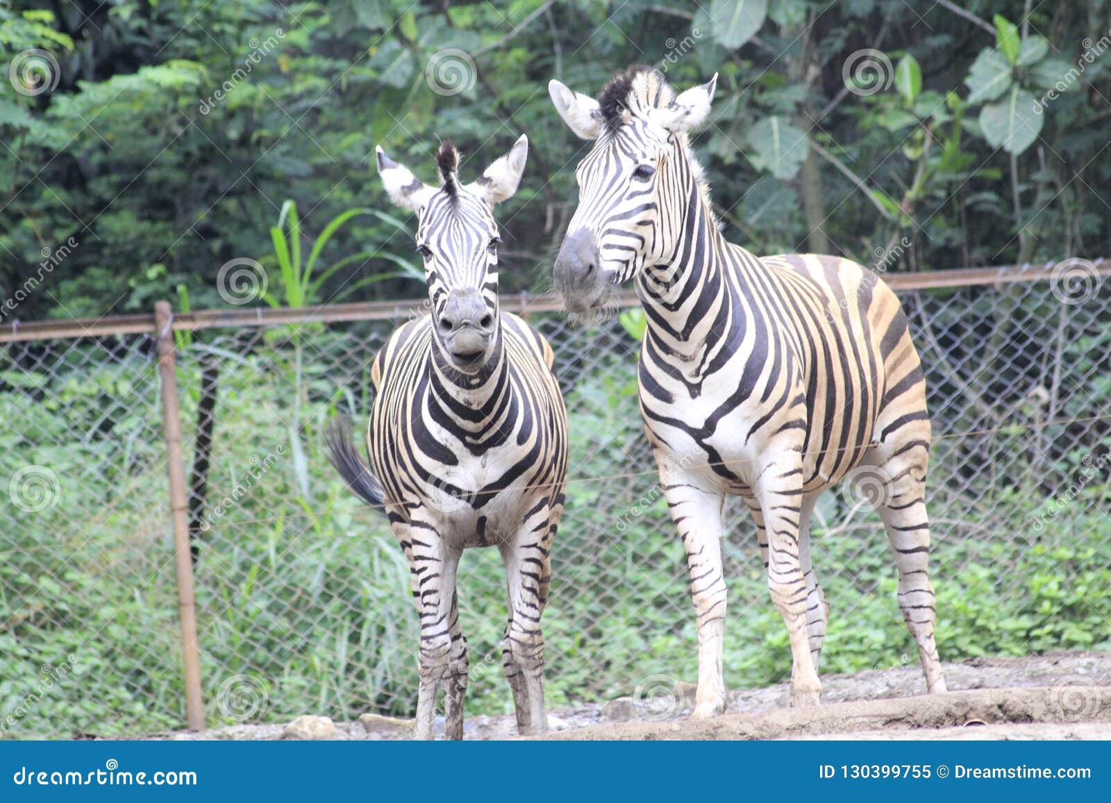 Zebra am Zoo Bandung Indonesien 2