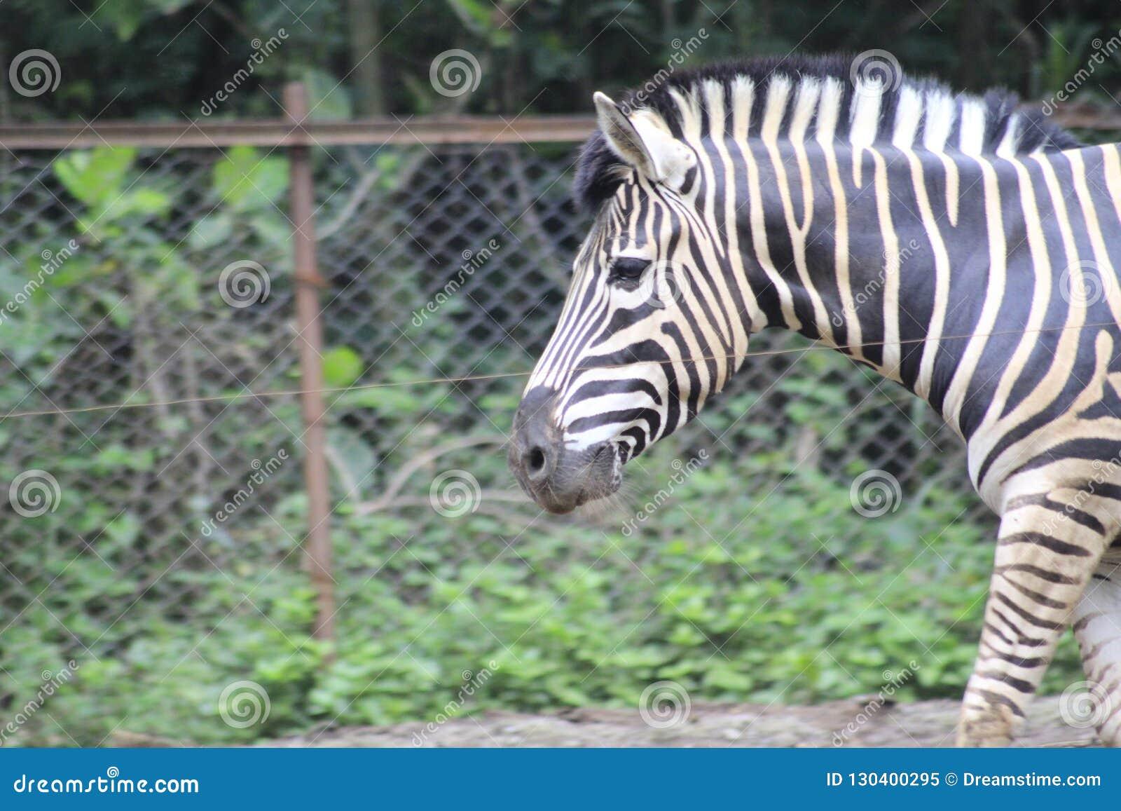 Zebra am Zoo Bandung Indonesien 3