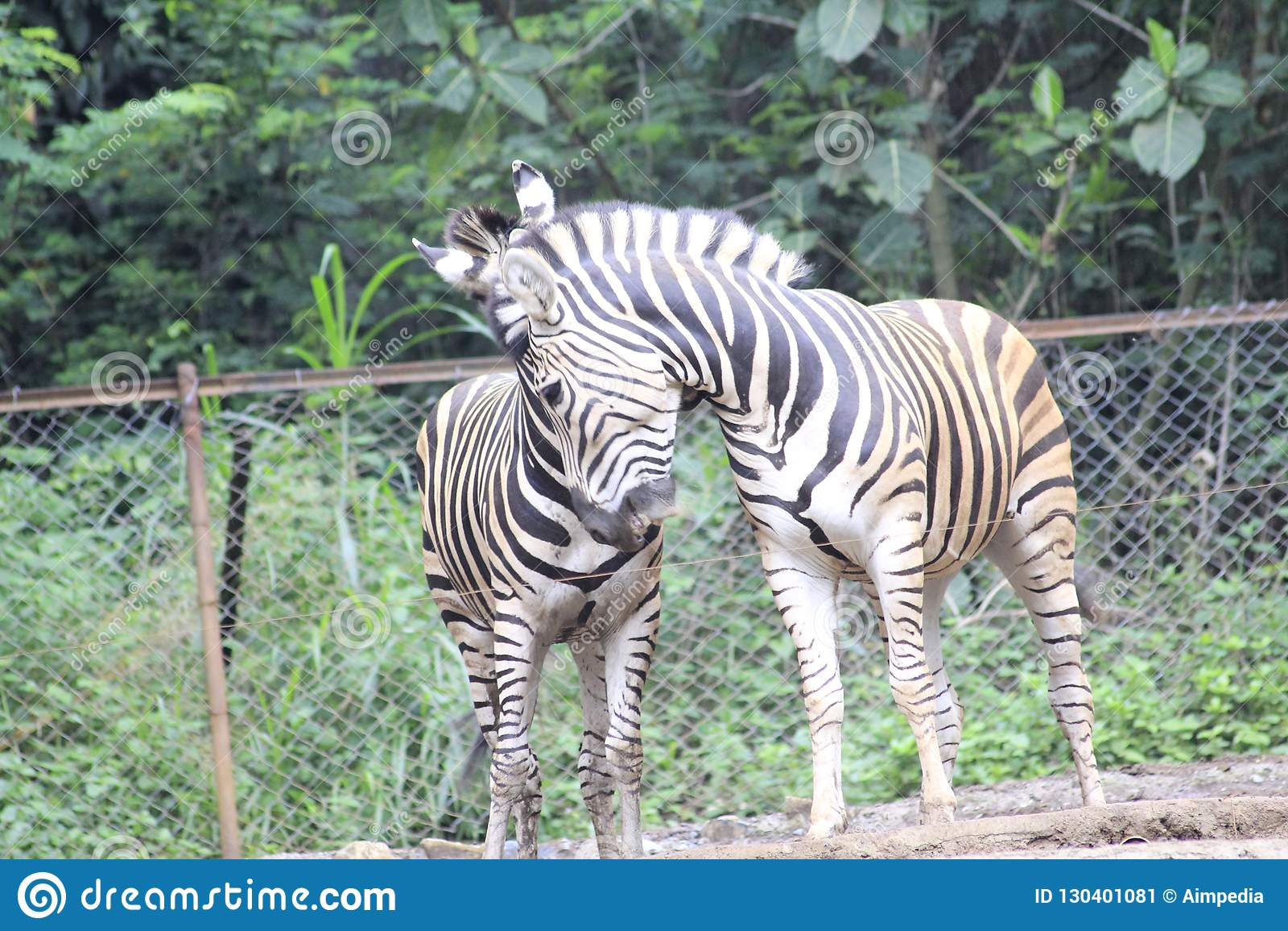 Zebra am Zoo Bandung Indonesien 4