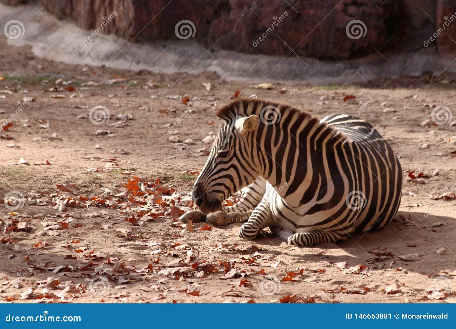 Zebra in zoo in nuremberg in germany