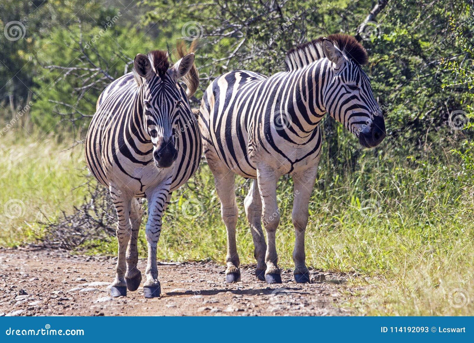 Zebra zwei auf Schotterweg in natürlicher Bushland-Landschaft