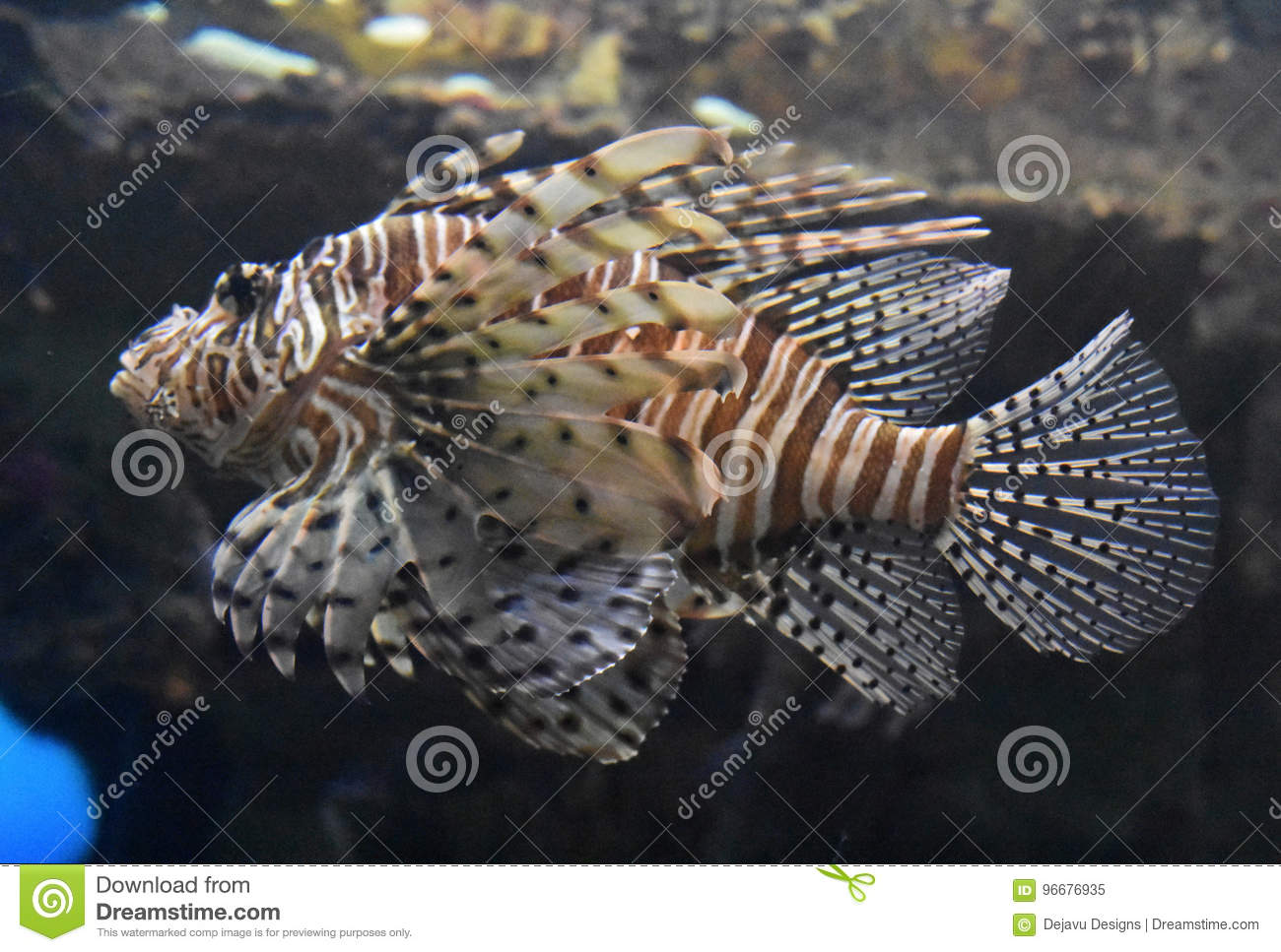Zebrafish Swimming Beside A Rock Ledge And Reef Stock Image Image Of Face Saltwater 96676935