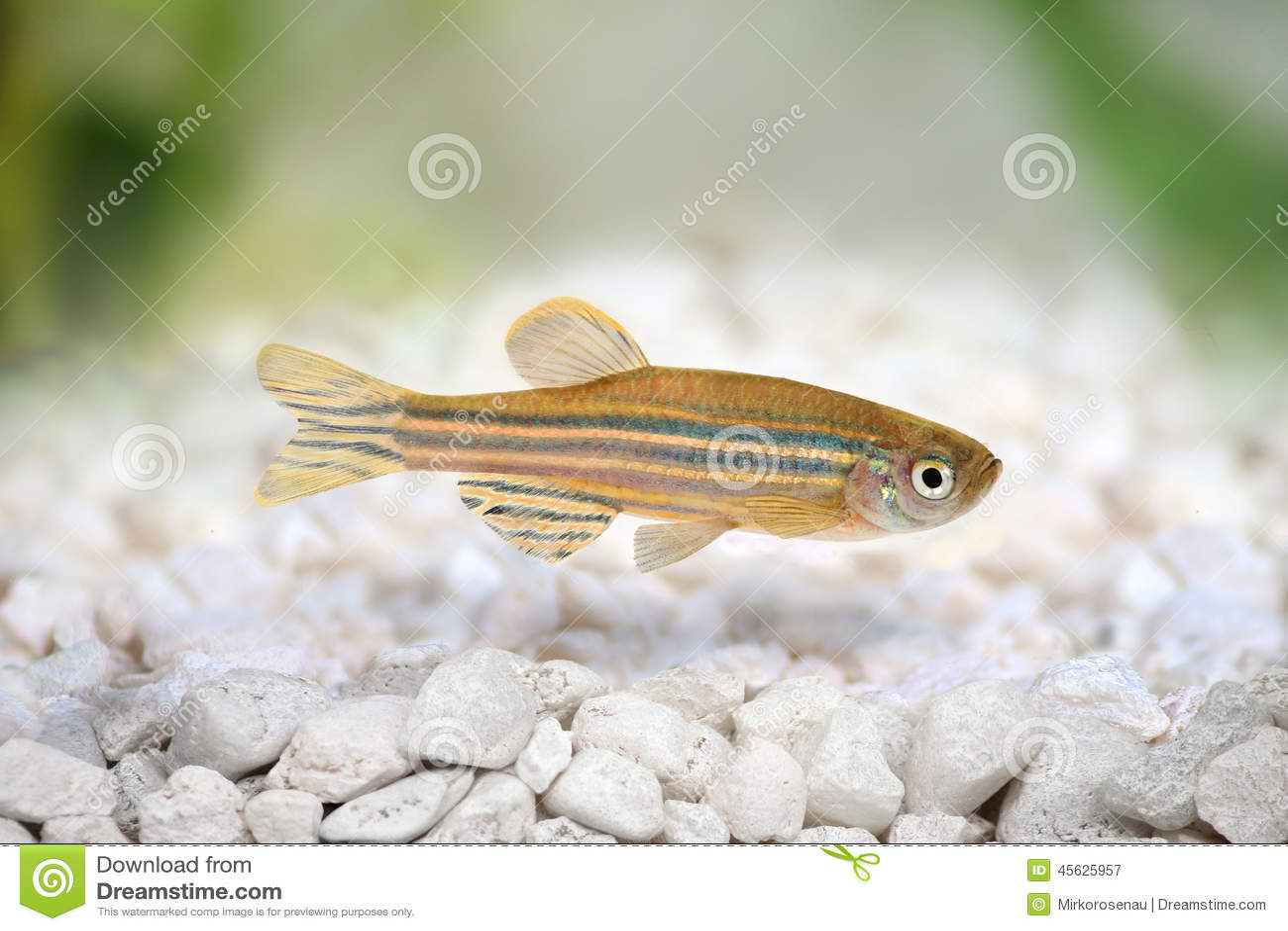 Zebrafish Zebra Barb Danio rerio