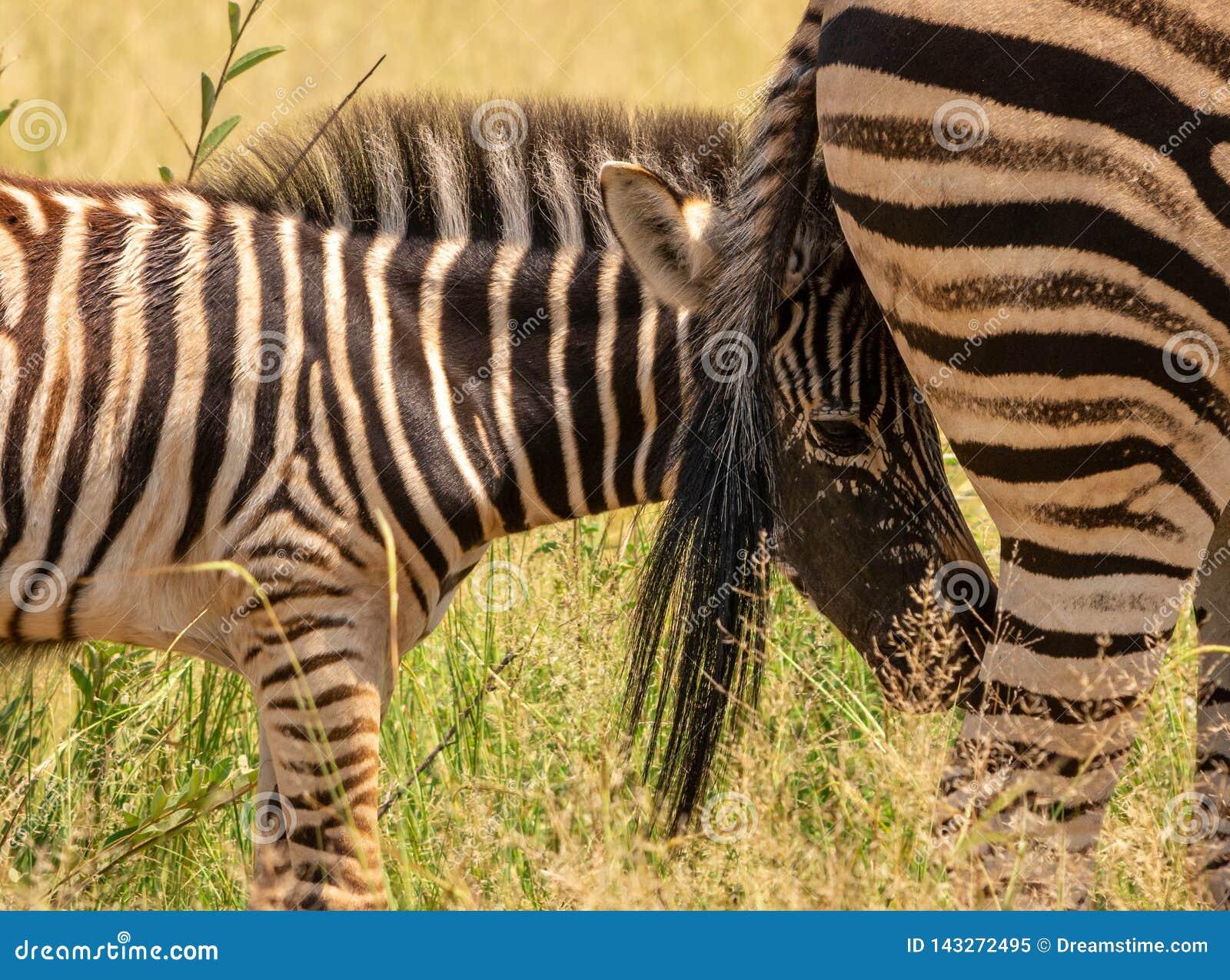 Zebrafohlen, das hinter dem Endstück der Verdammung sich versteckt
