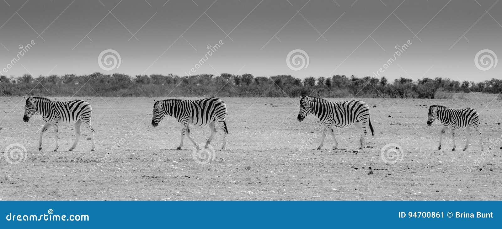 Zebramarkering Etosha nationalpark, Namibia
