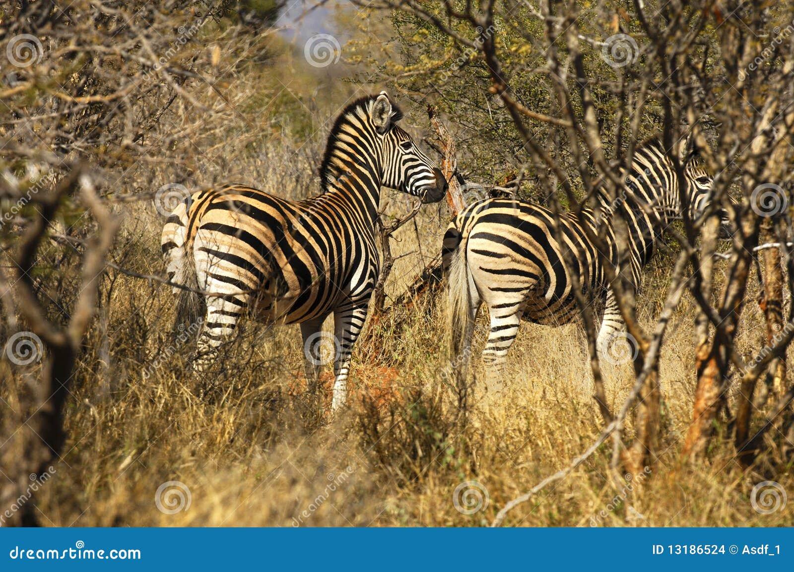 Zebras θάμνων
