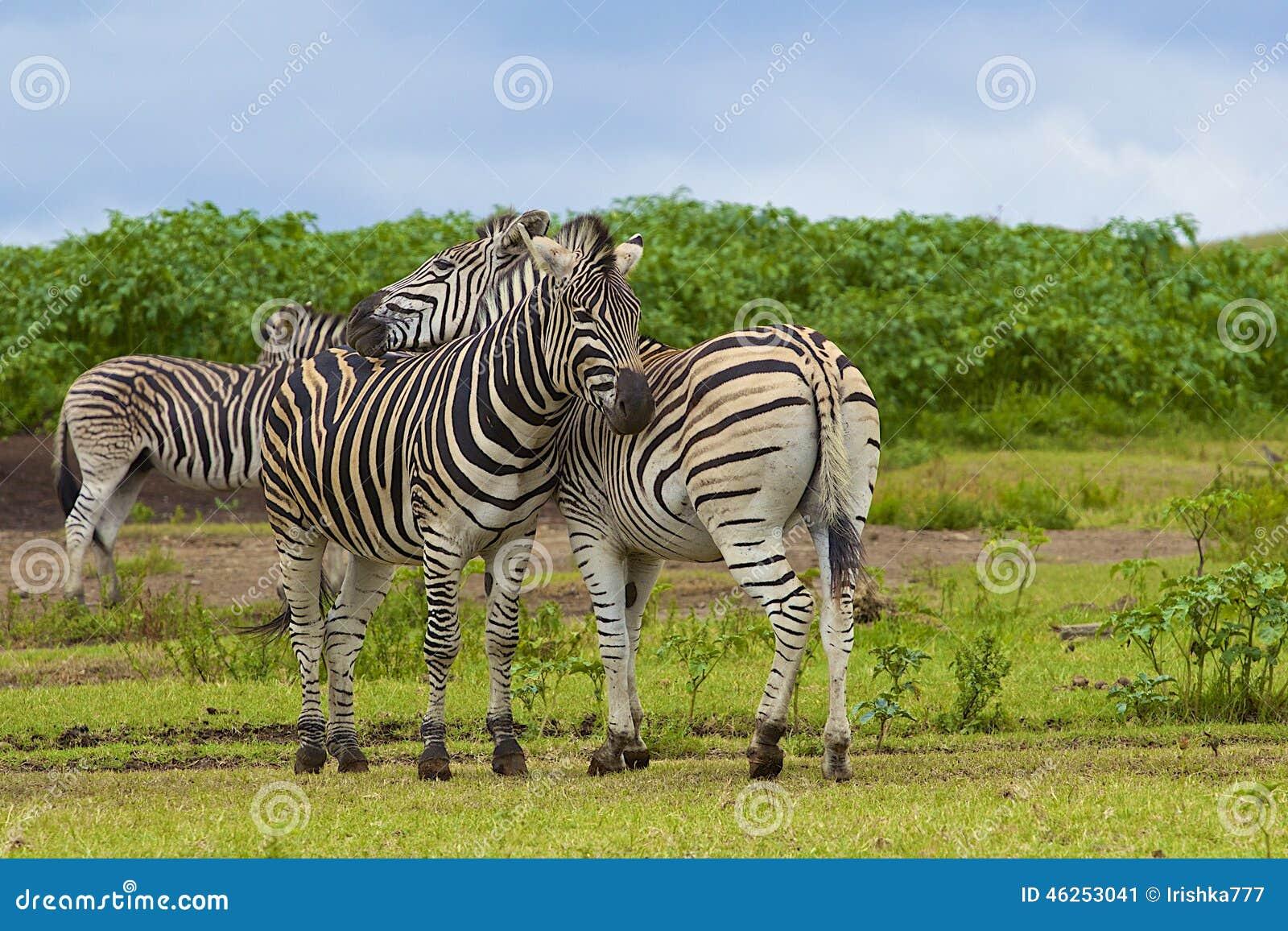 Zebras στην επιφύλαξη παιχνιδιού TALA, Νότια Αφρική