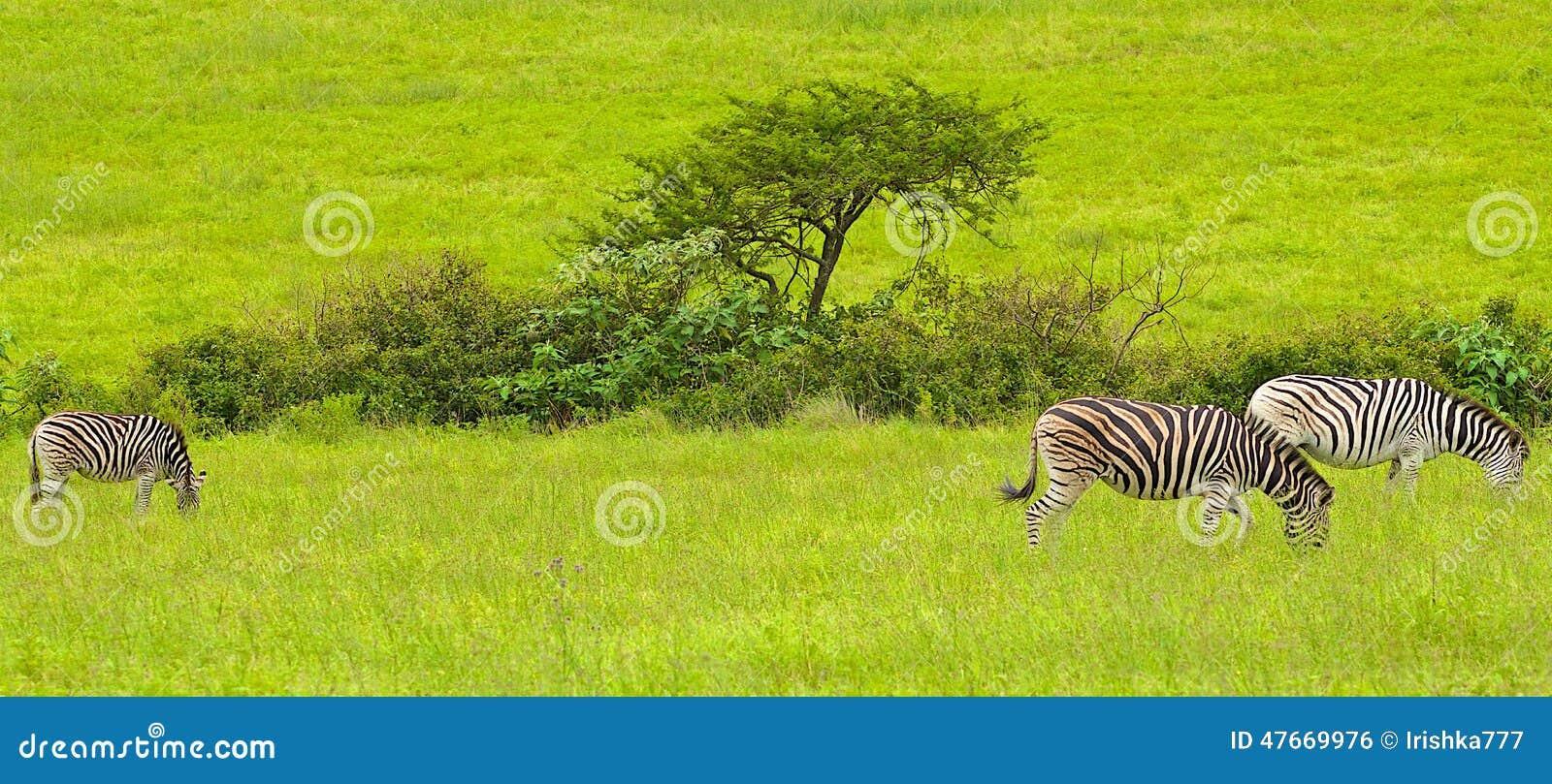 Zebras στη Νότια Αφρική