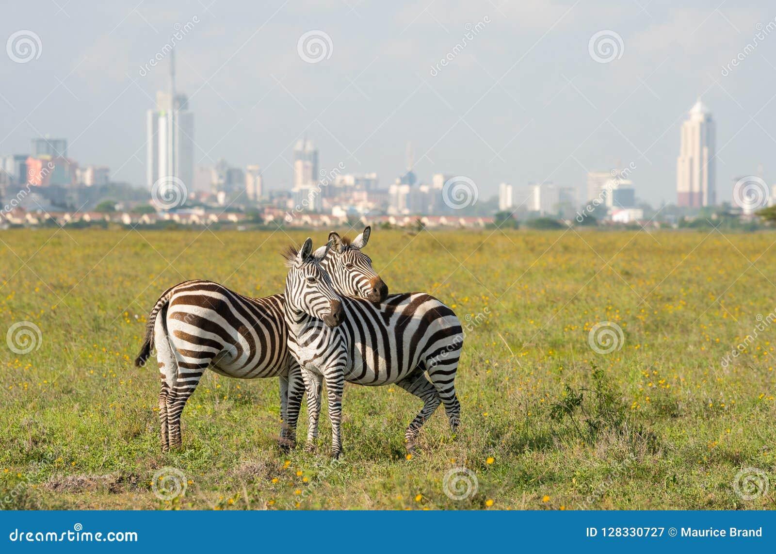 Zebras στο εθνικό πάρκο του Ναϊρόμπι