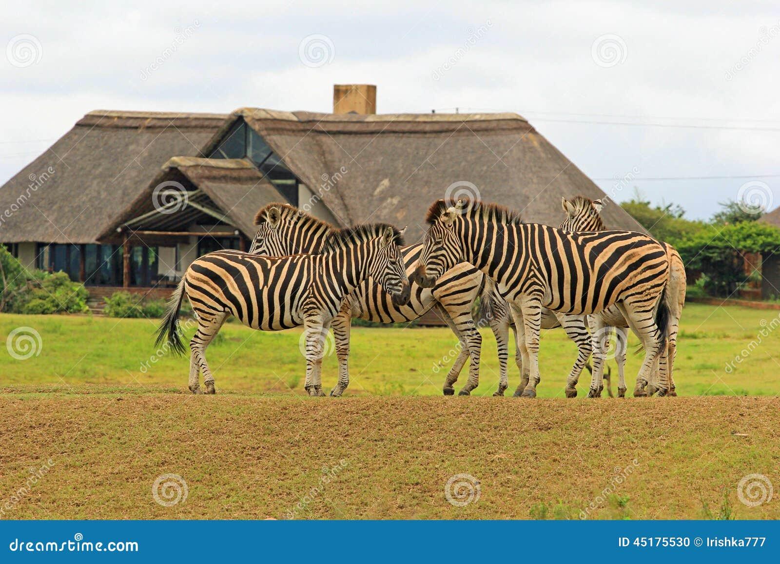Zebras στο πάρκο σαφάρι, Νότια Αφρική