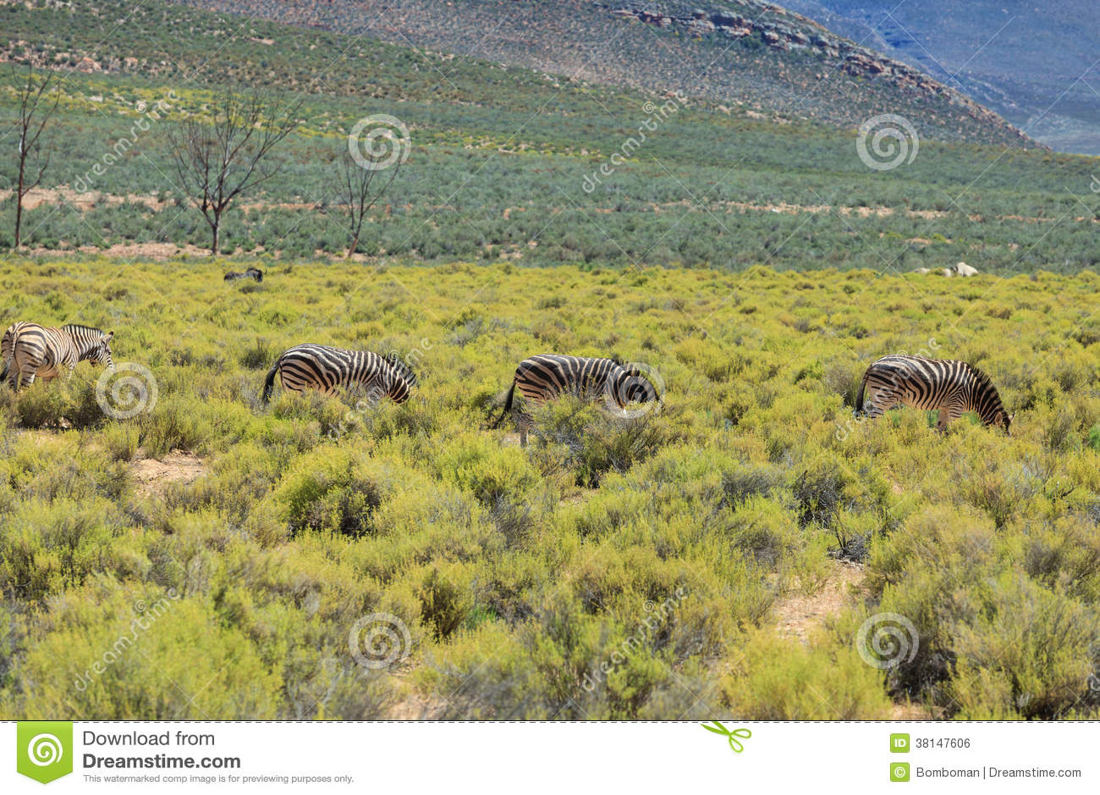 Zebras στο σαφάρι στη Νότια Αφρική