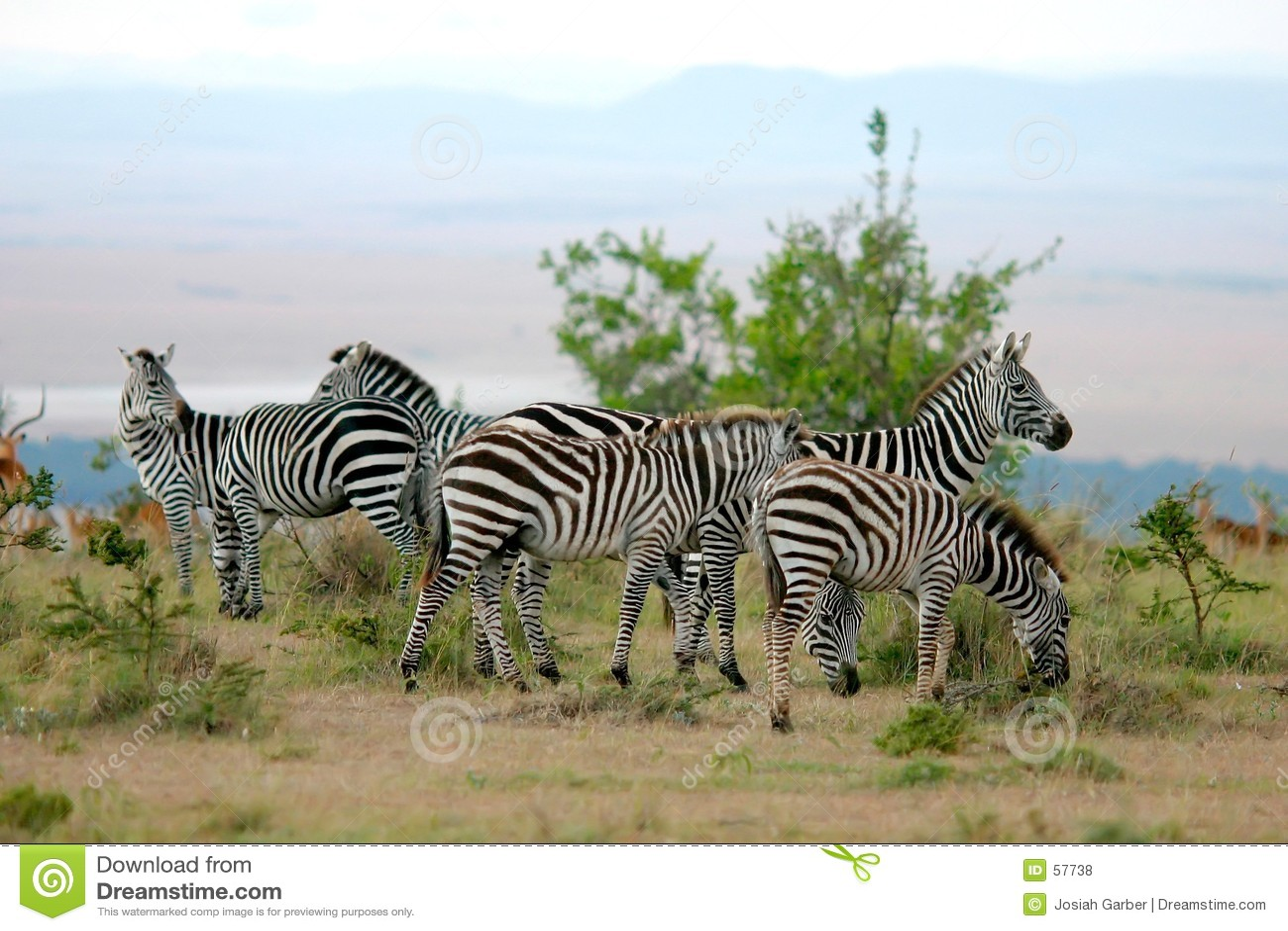 Zebras της Αφρικής
