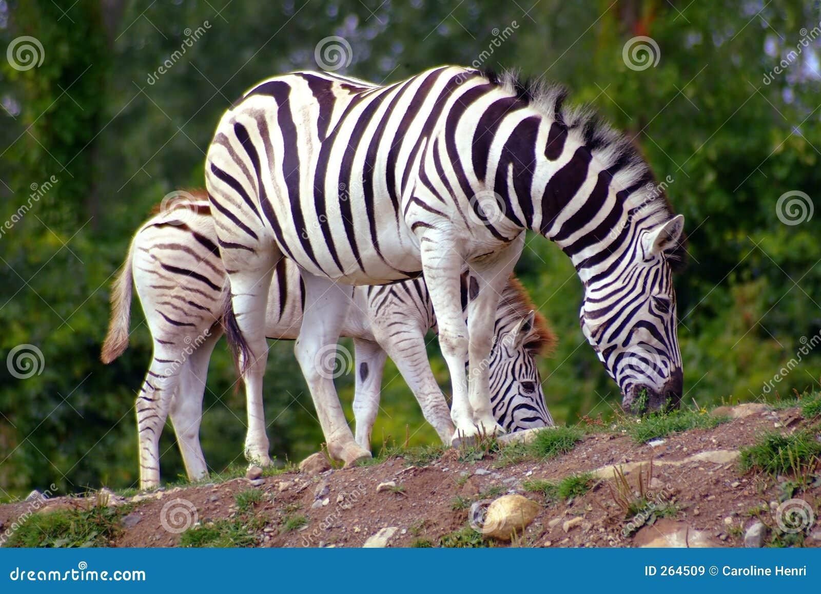 Baby Zebras In Africa Baby Zebras In ...