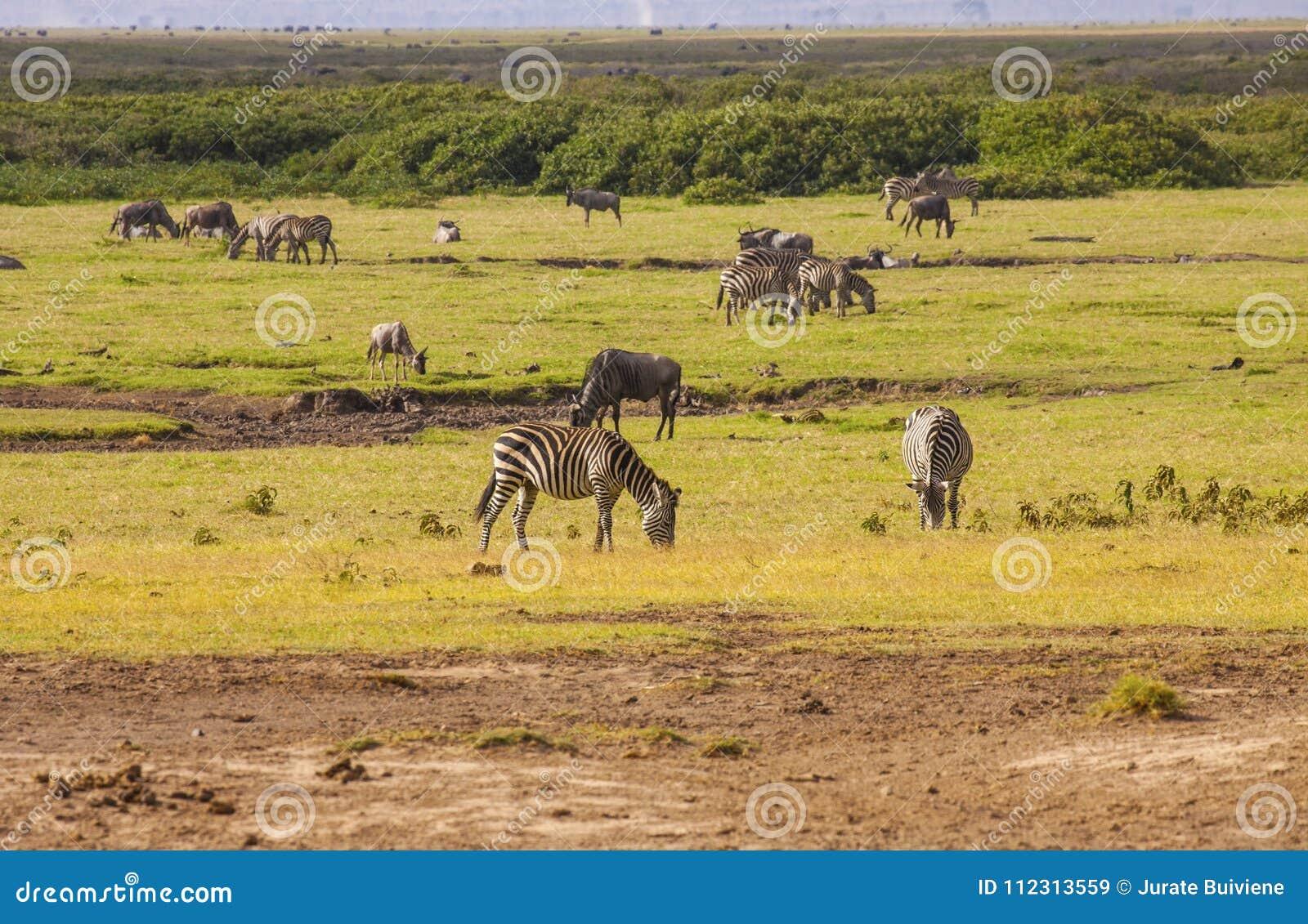 Zebras in Amboseli-Park, Kenia