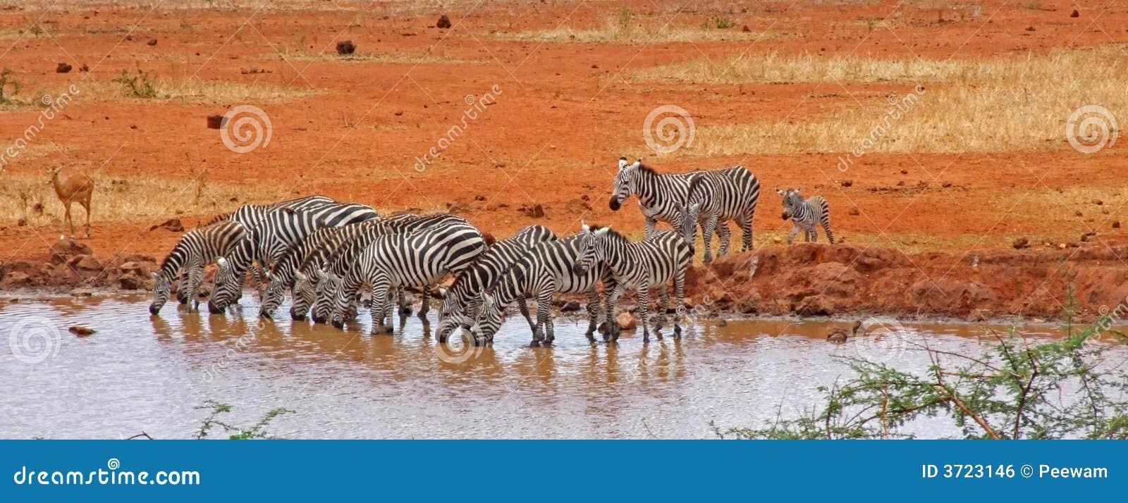 Zebras am Bewässerungs-Loch